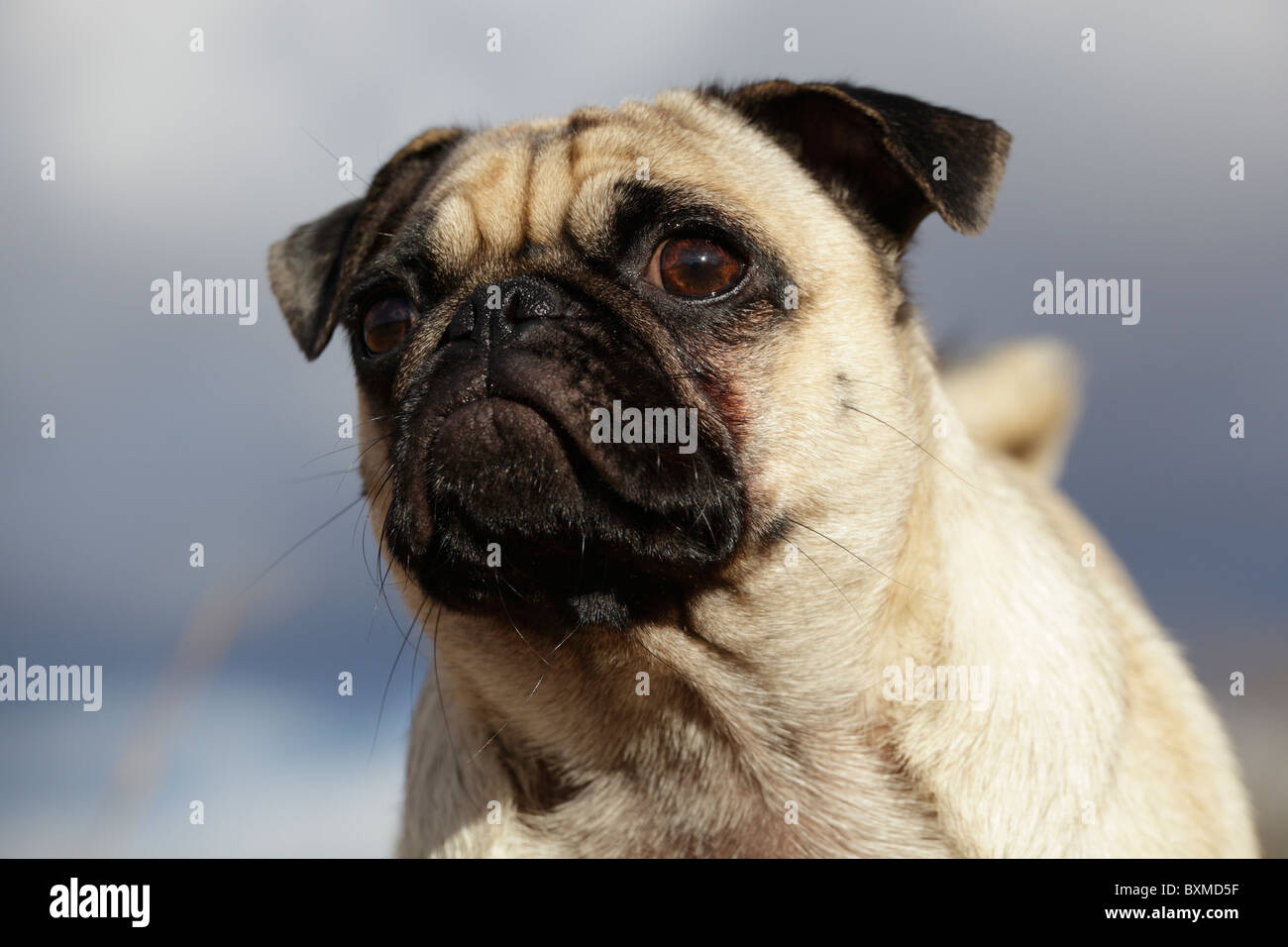A pensive looking pet pug dog. - Stock Image
