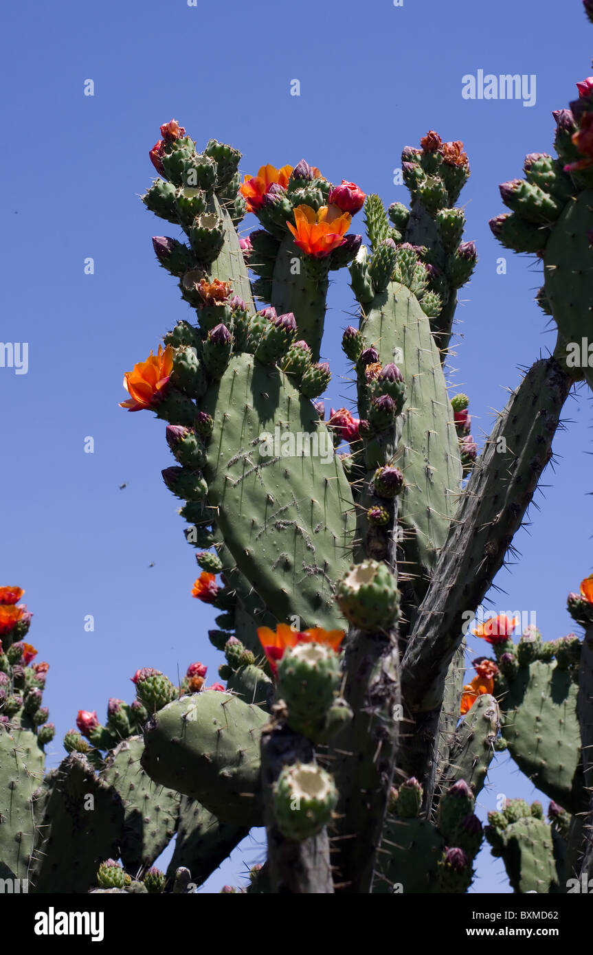 Prickly pear cactus (Opuntia tomentosa) blooming Stock Photo