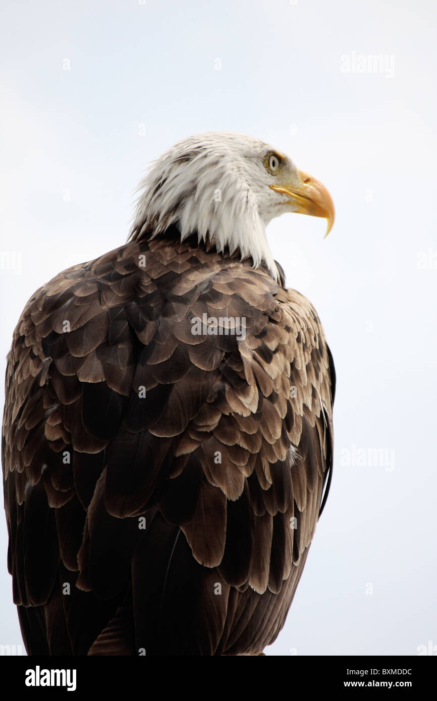 View of an American bald eagle bird of prey on top of a house. - Stock Image