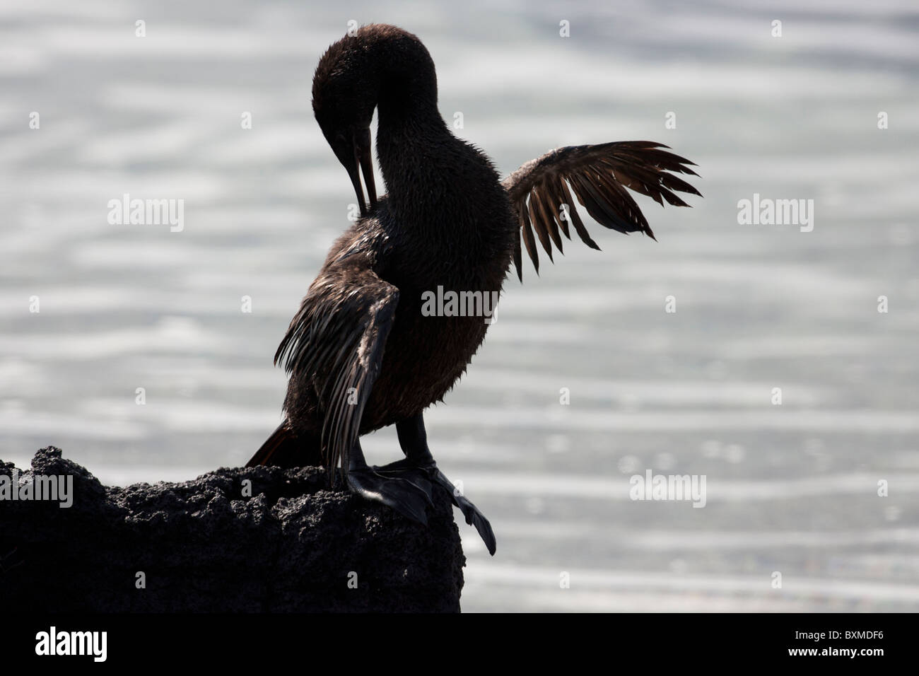 Flightless Cormorant (Phalacrocorax harrisi), drying it's wings in the sun and preening on Fernandina Island, - Stock Image