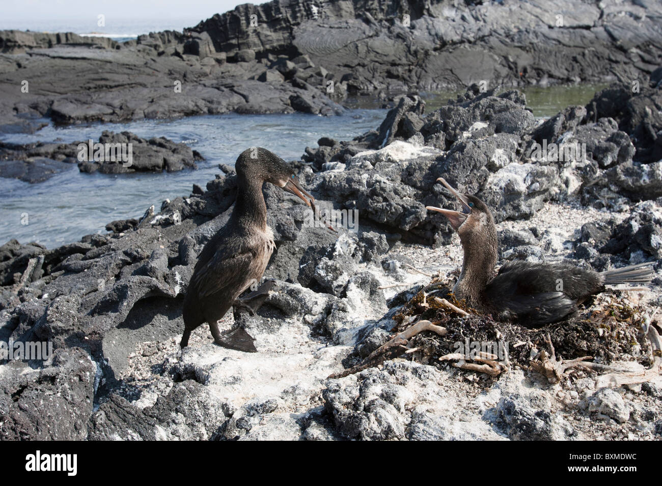 Flightless Cormorant (Phalacrocorax harrisi), mated pair at their nest on Fernandina Island, Galapagos. - Stock Image