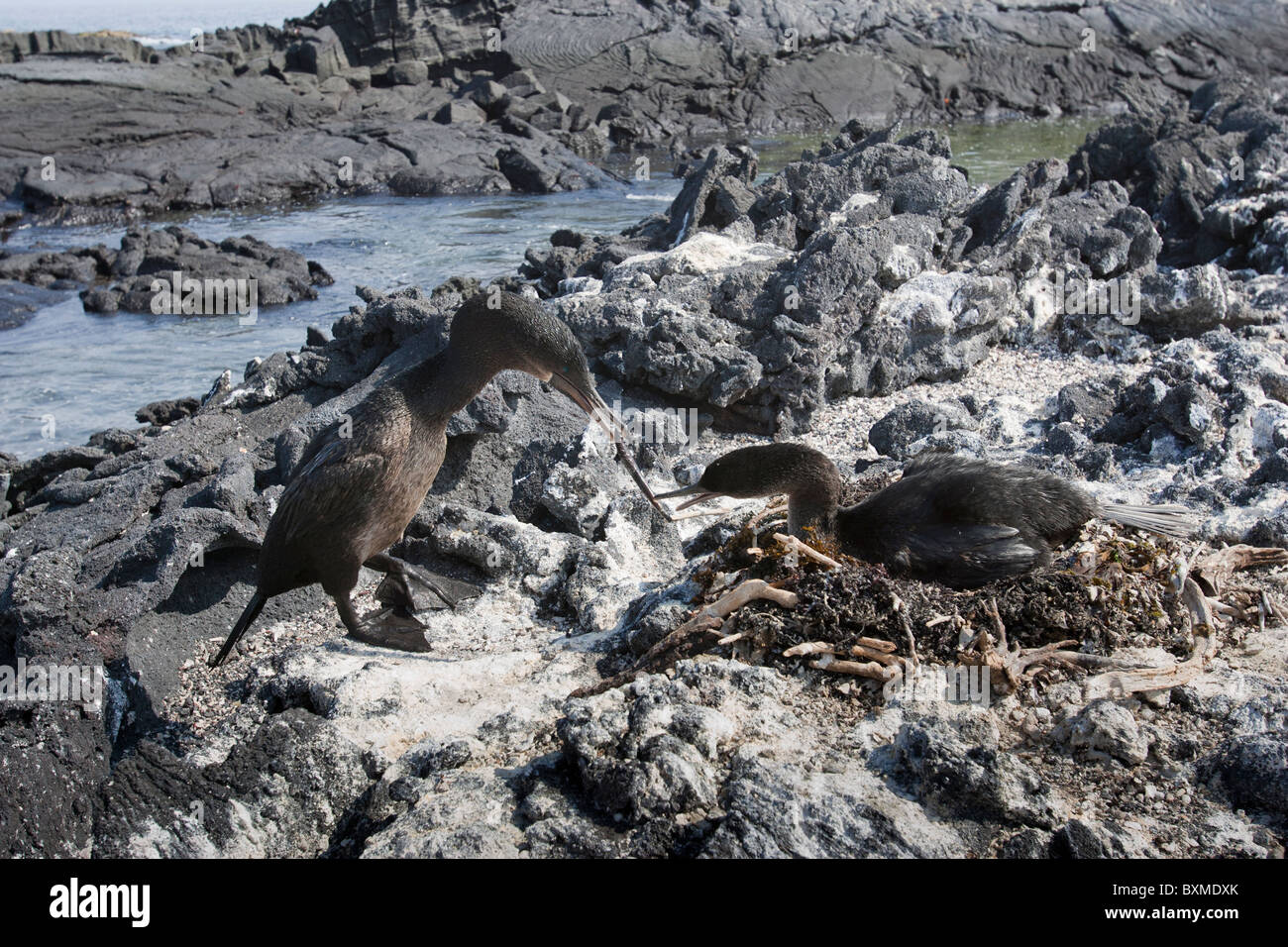 Flightless Cormorant (Phalacrocorax harrisi), mated pair passing a stick in courtship on their nest - Stock Image