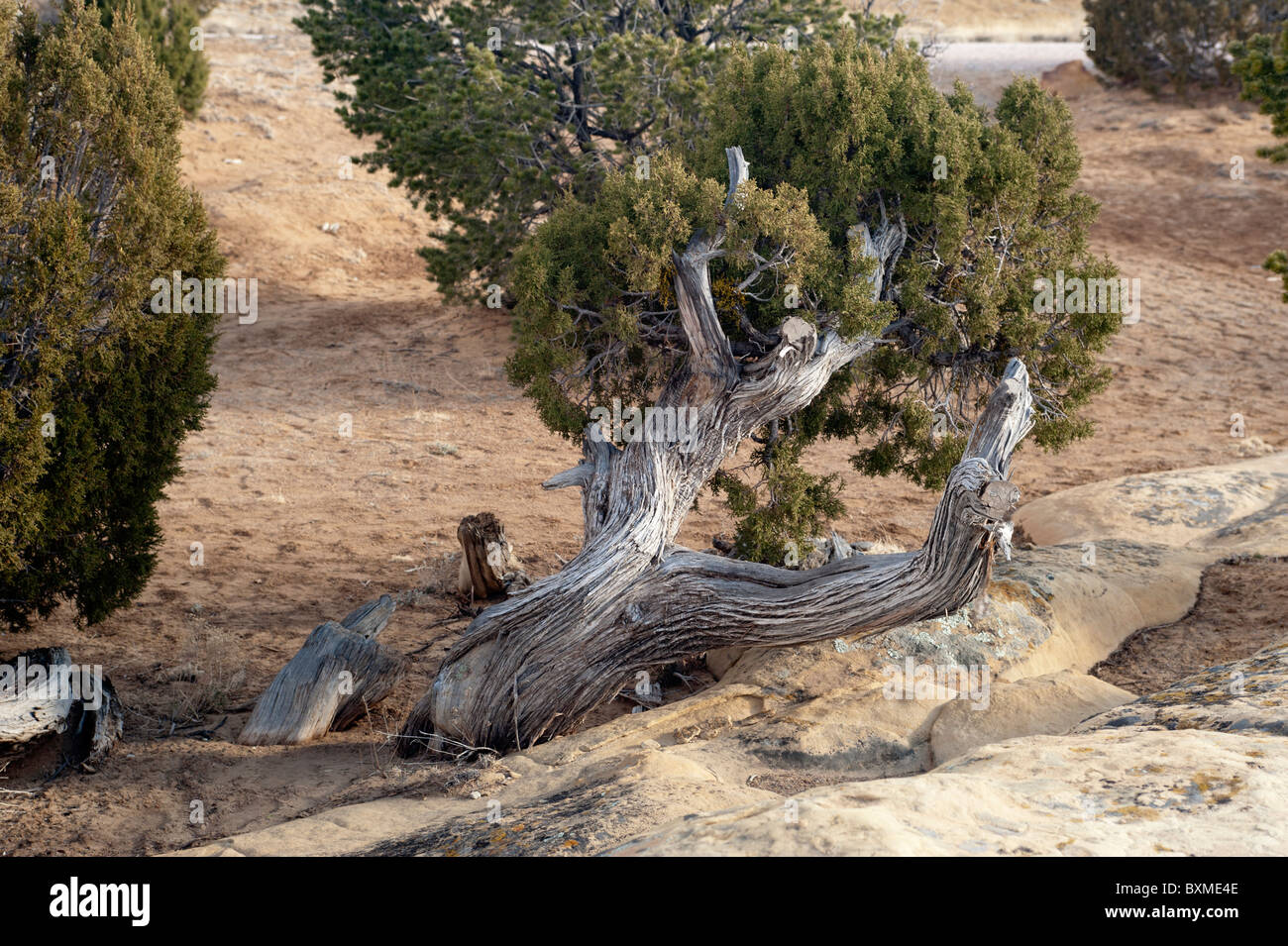 A twisted, gnarled old Juniper clings to life in the harsh arid environment of the El Malpais National Monument - Stock Image