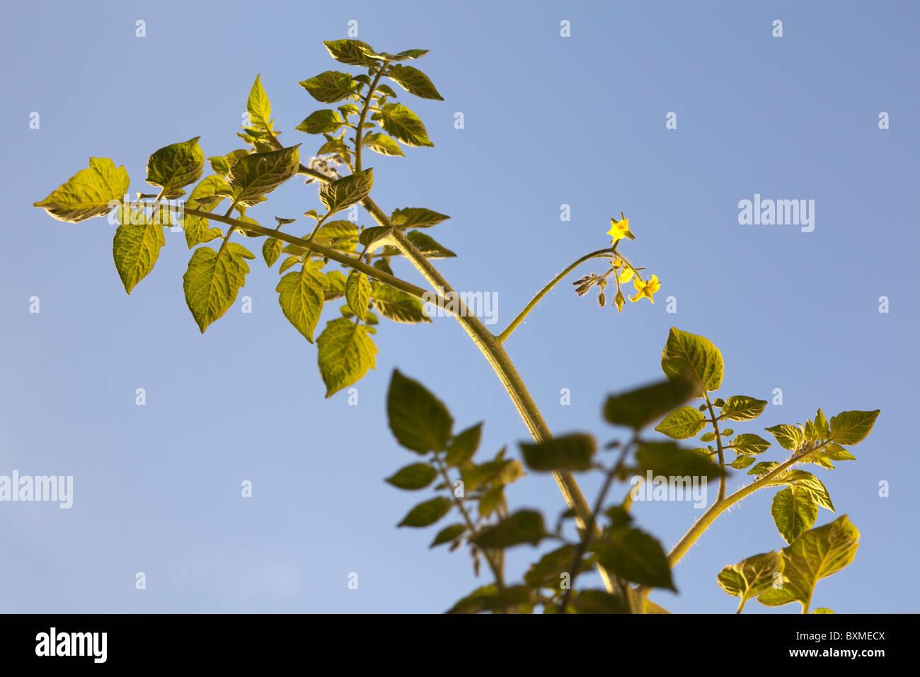 tomato plant on the vine-Solanum Lycopersicum agricultural - Stock Image