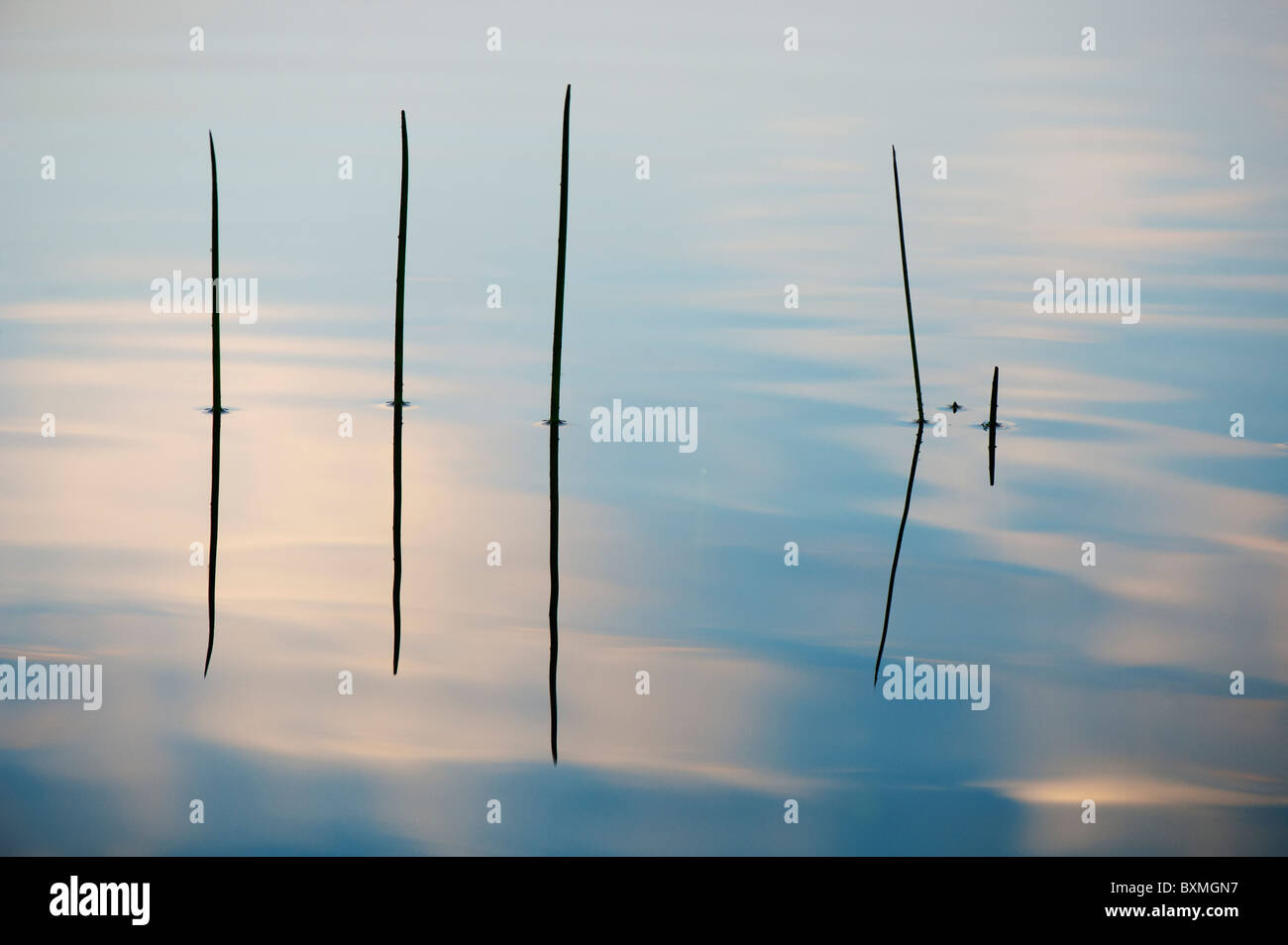 Silhouette Grass stems reflecting in a rippling pool at dawn in india - Stock Image