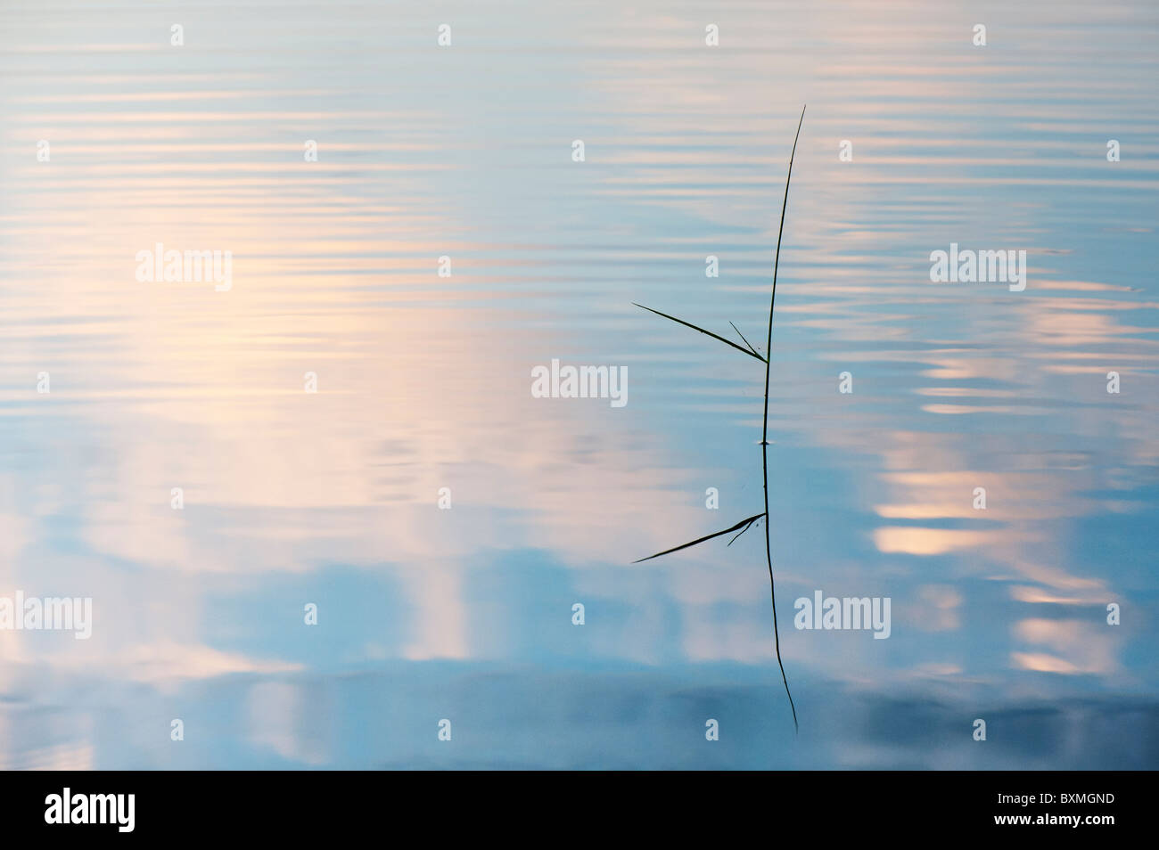 Silhouette Grass stem reflecting in a rippling pool at dawn in india - Stock Image