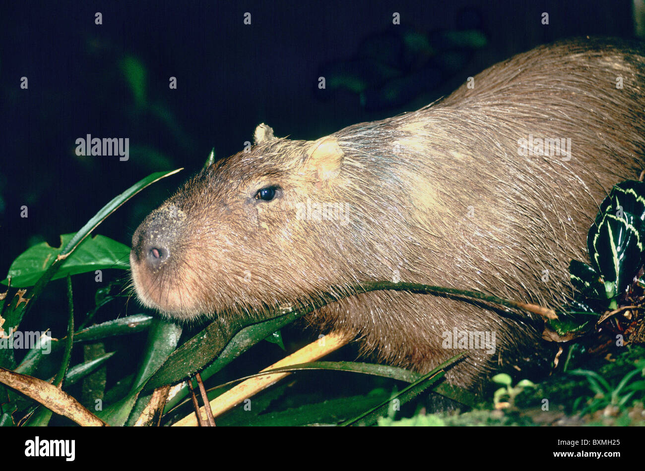 Capybara feeding, browsing, - Stock Image