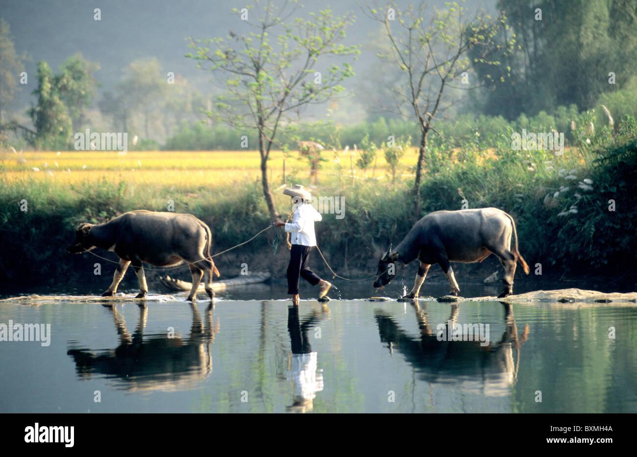 Farmer leading water buffalos. - Stock Image