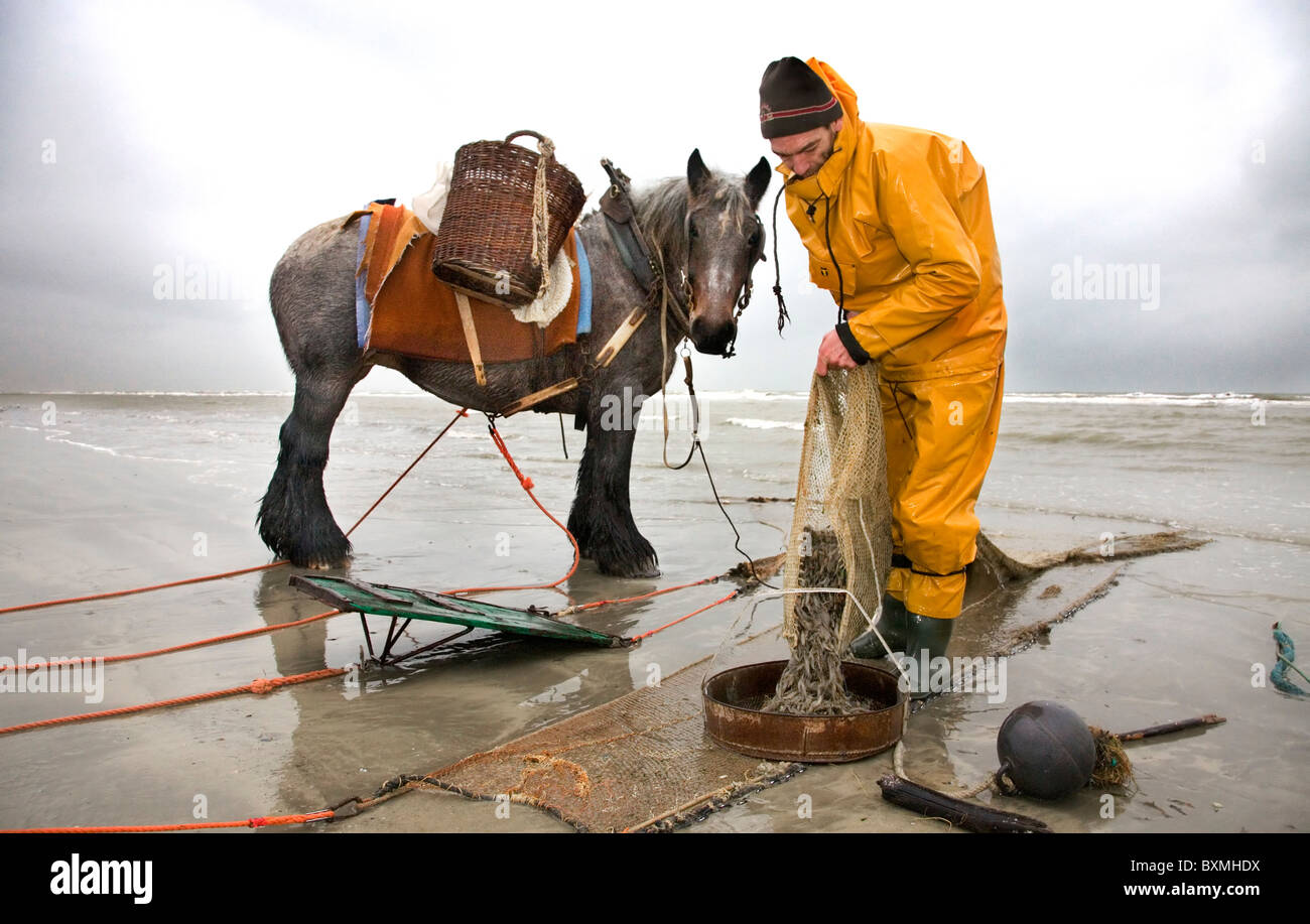 Shrimper and draught horse (Equus caballus) with dragnet fishing for shrimps along the North Sea coast, Oostduinkerke, - Stock Image