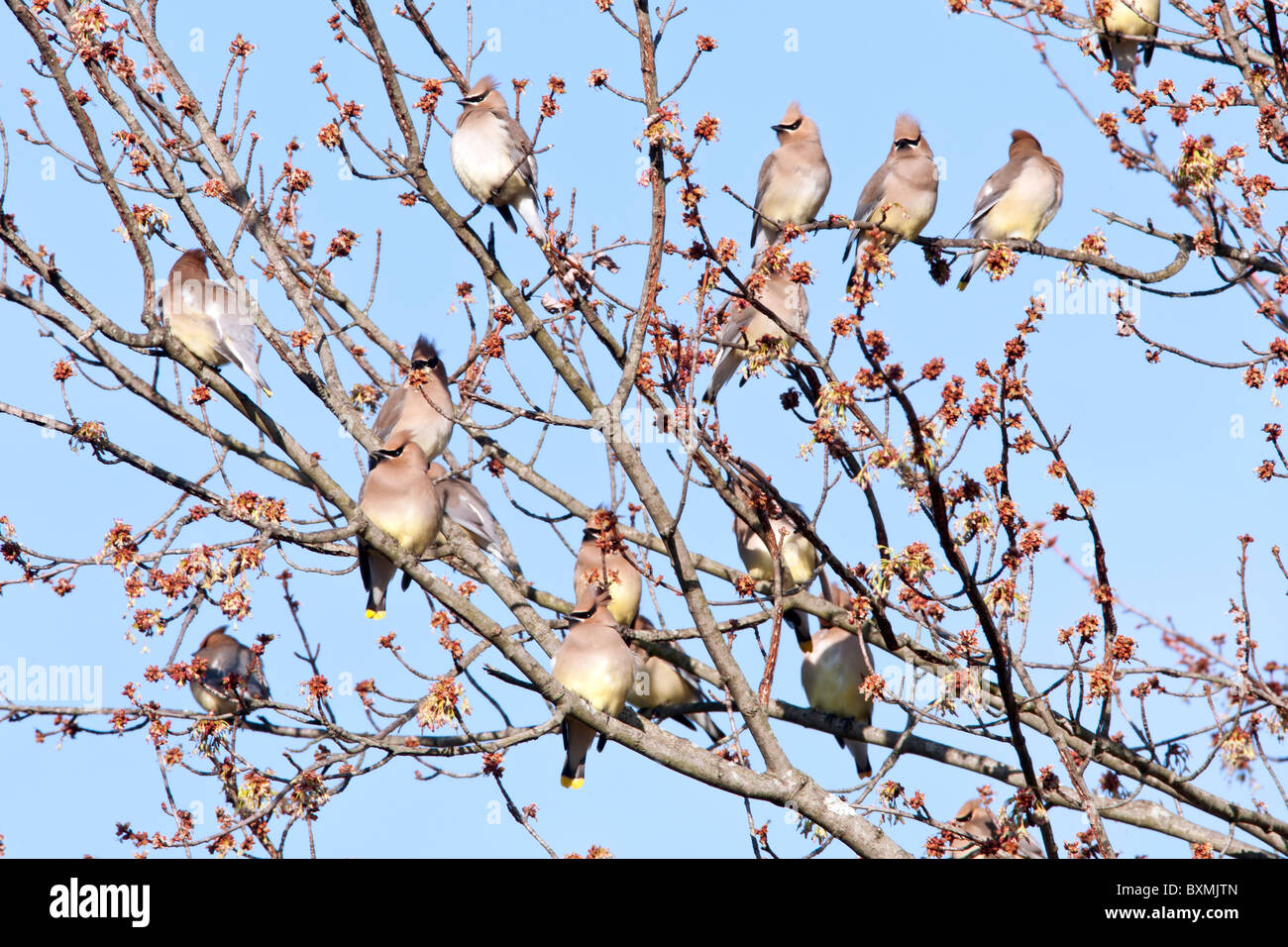 Cedar Waxwing Flock perching in Maple Tree - Stock Image