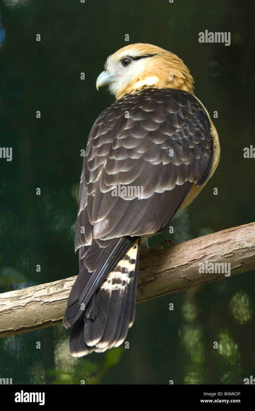 Yellow-headed Caracara Milvago chimachima World of Birds Cape Town South Africa Captive - Stock Image