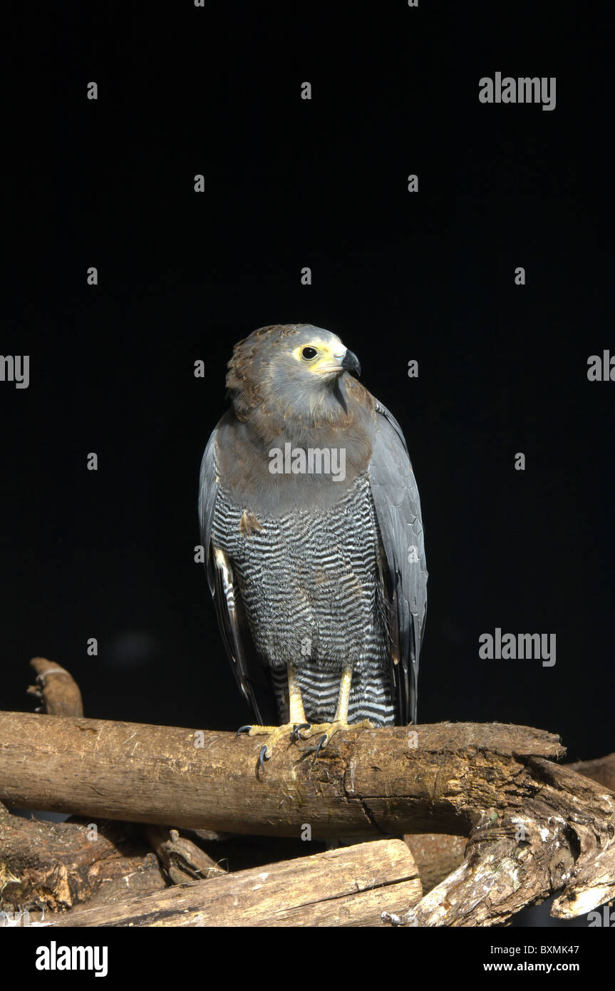 African harrier hawk Polyboroides typus World of Birds Cape Town South Africa Captive - Stock Image