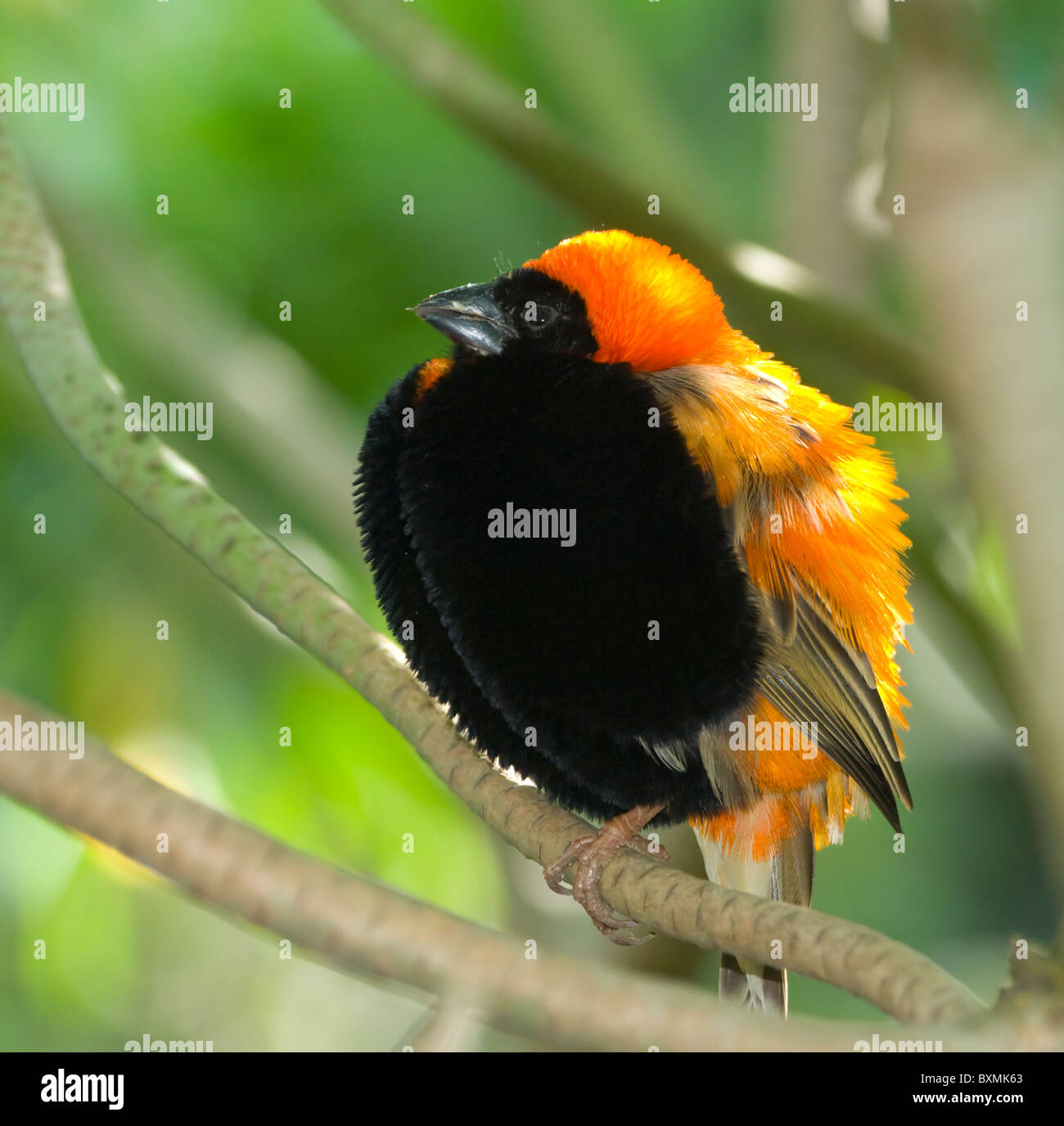 Red Bishop Euplectes orix World of Birds Cape Town South Africa Captive - Stock Image