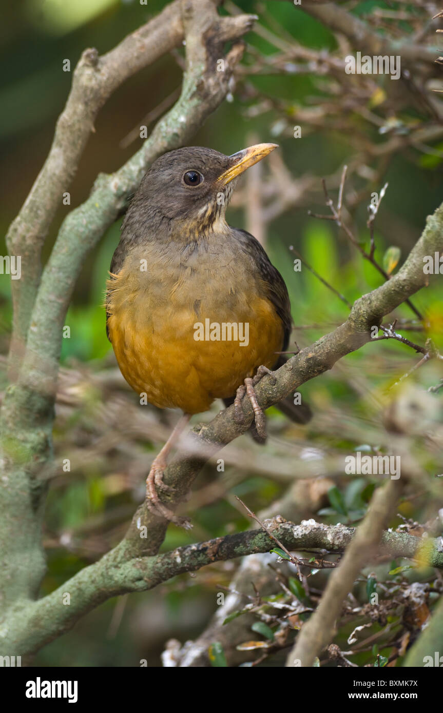 Olive Thrush Turdus olivaceus World of Birds Cape Town South Africa Captive Stock Photo