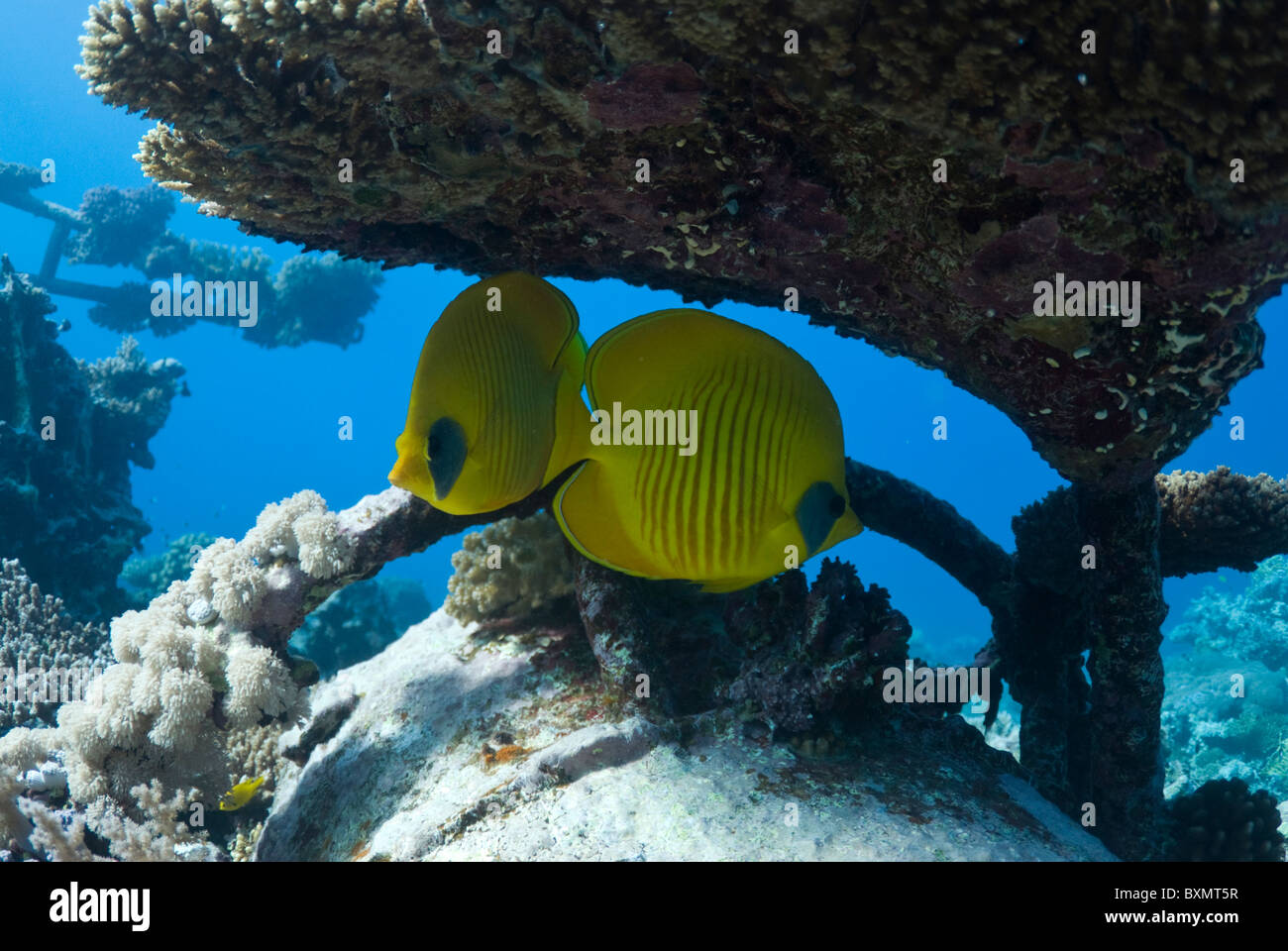 Pair of masked butterfly fish under metal structure. - Stock Image