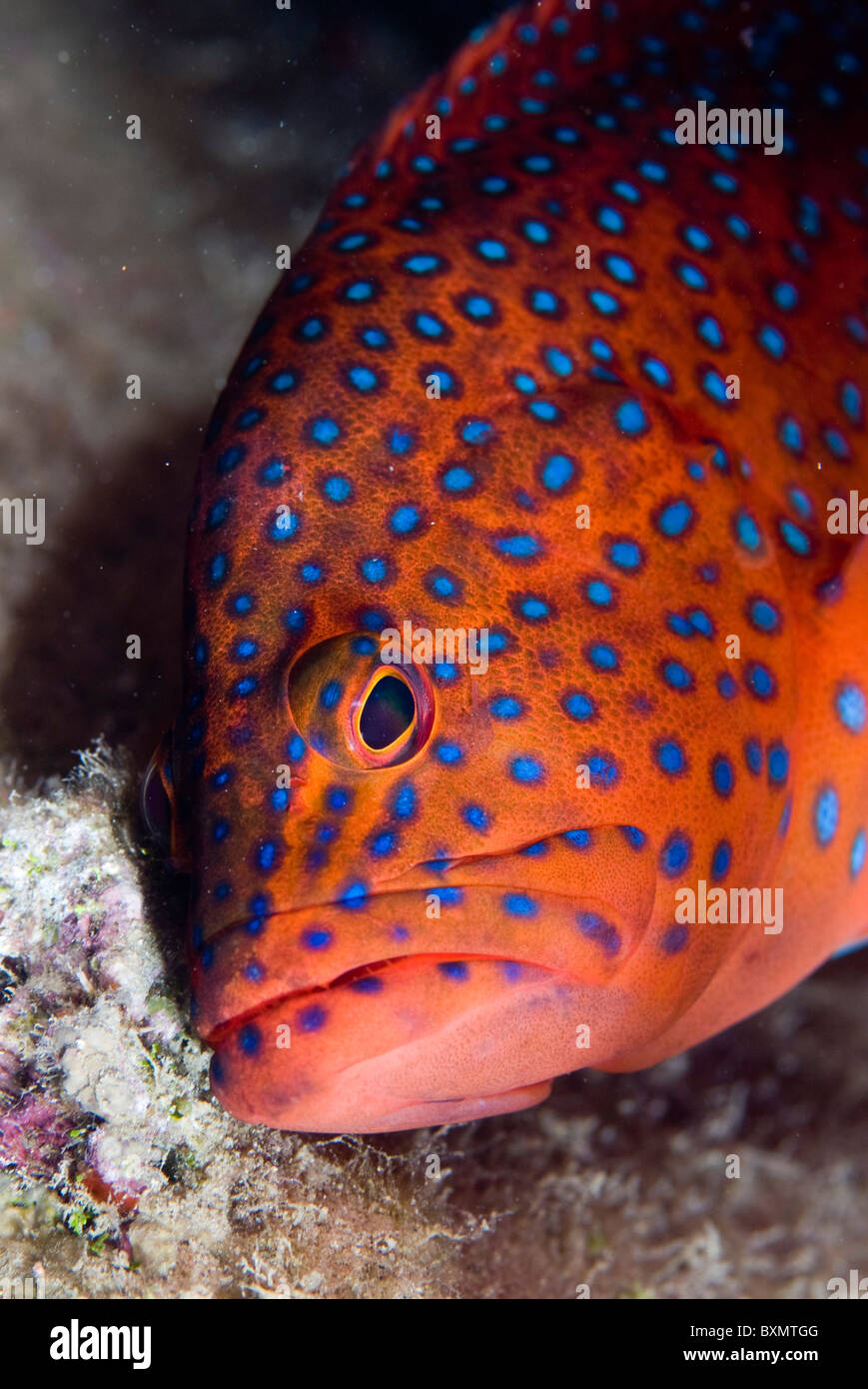 Coral grouper, Nuweiba, Sinai, Egypt, Red Sea, Indian Ocean - Stock Image