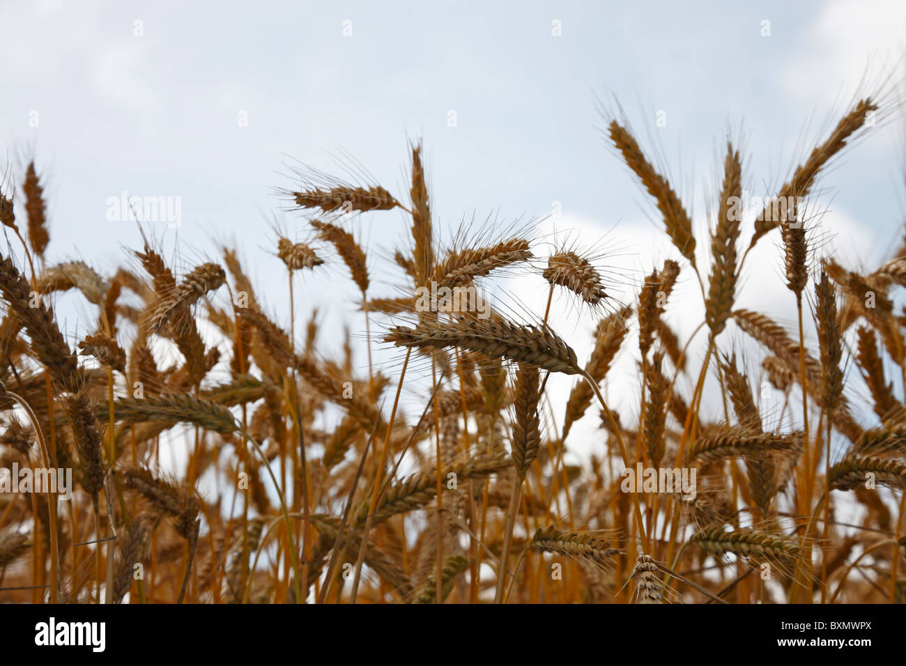 Ears of corn of wheat against a blue sky with white clouds, Denmark - Stock Image