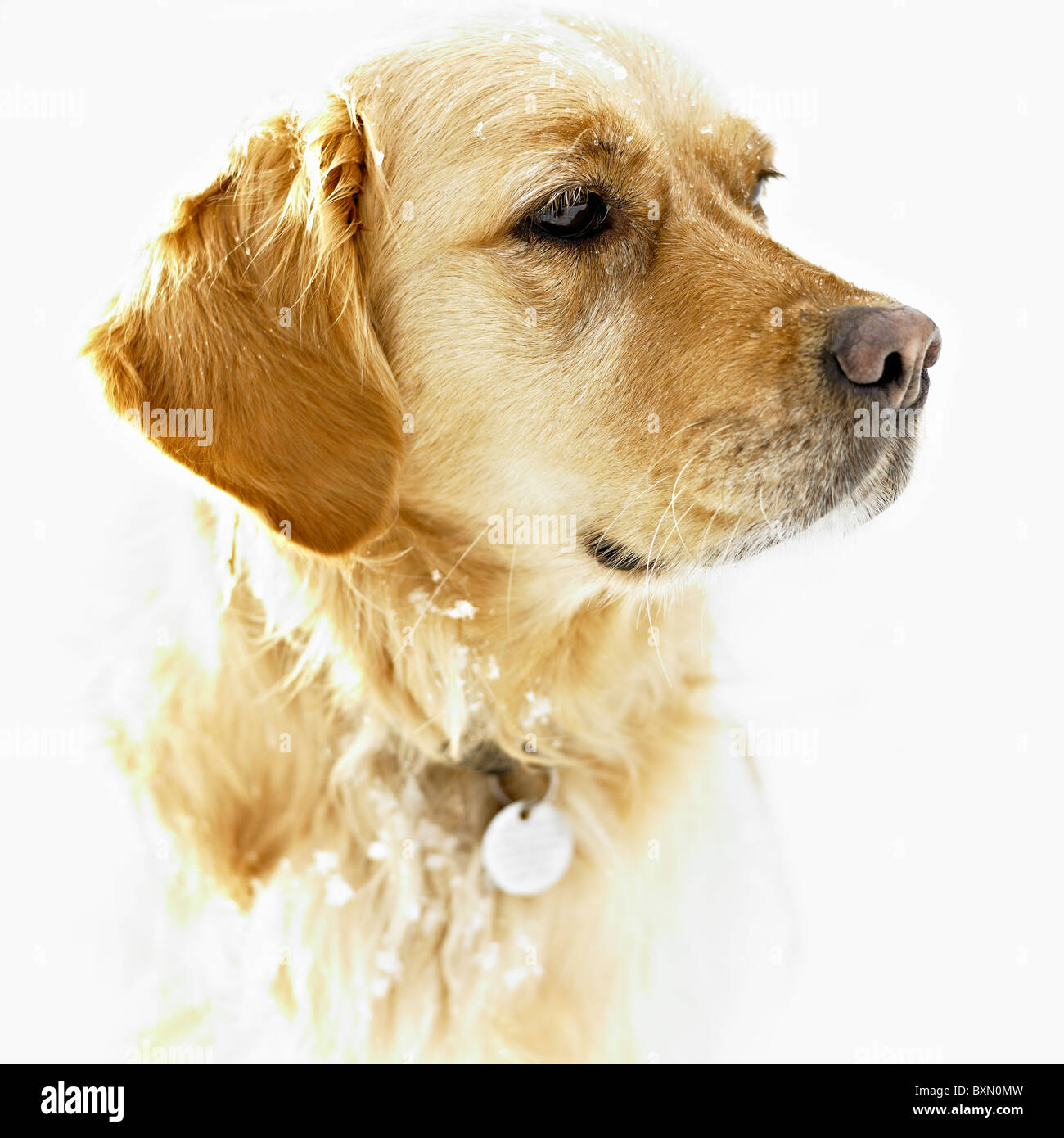 A Golden Retriever Portrait In The Snow - Stock Image