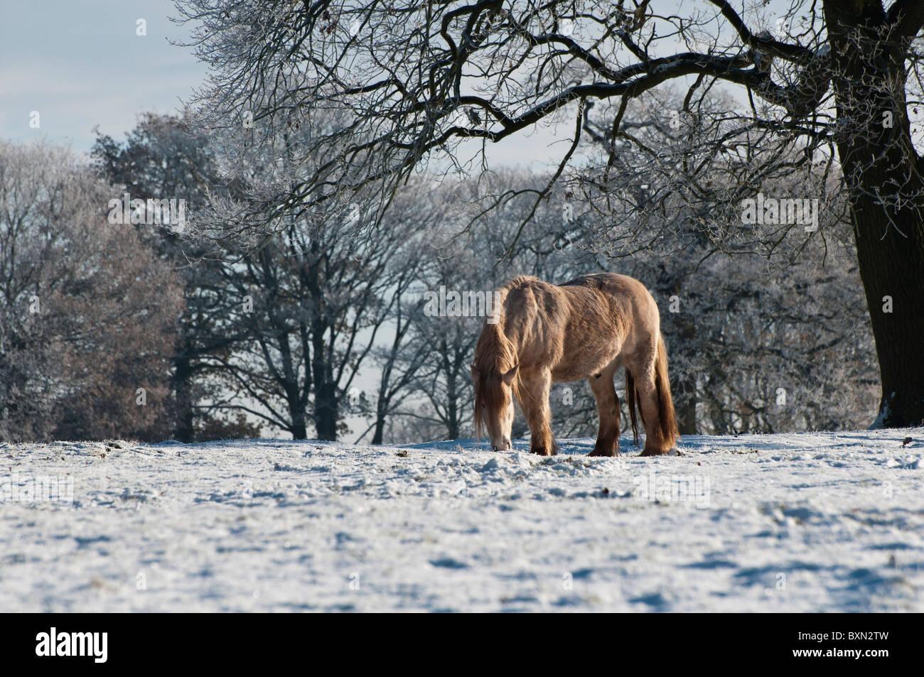Braving the sub zero temperatures, Horse at Three Mile Lane, Keele, Staffordshire - Stock Image