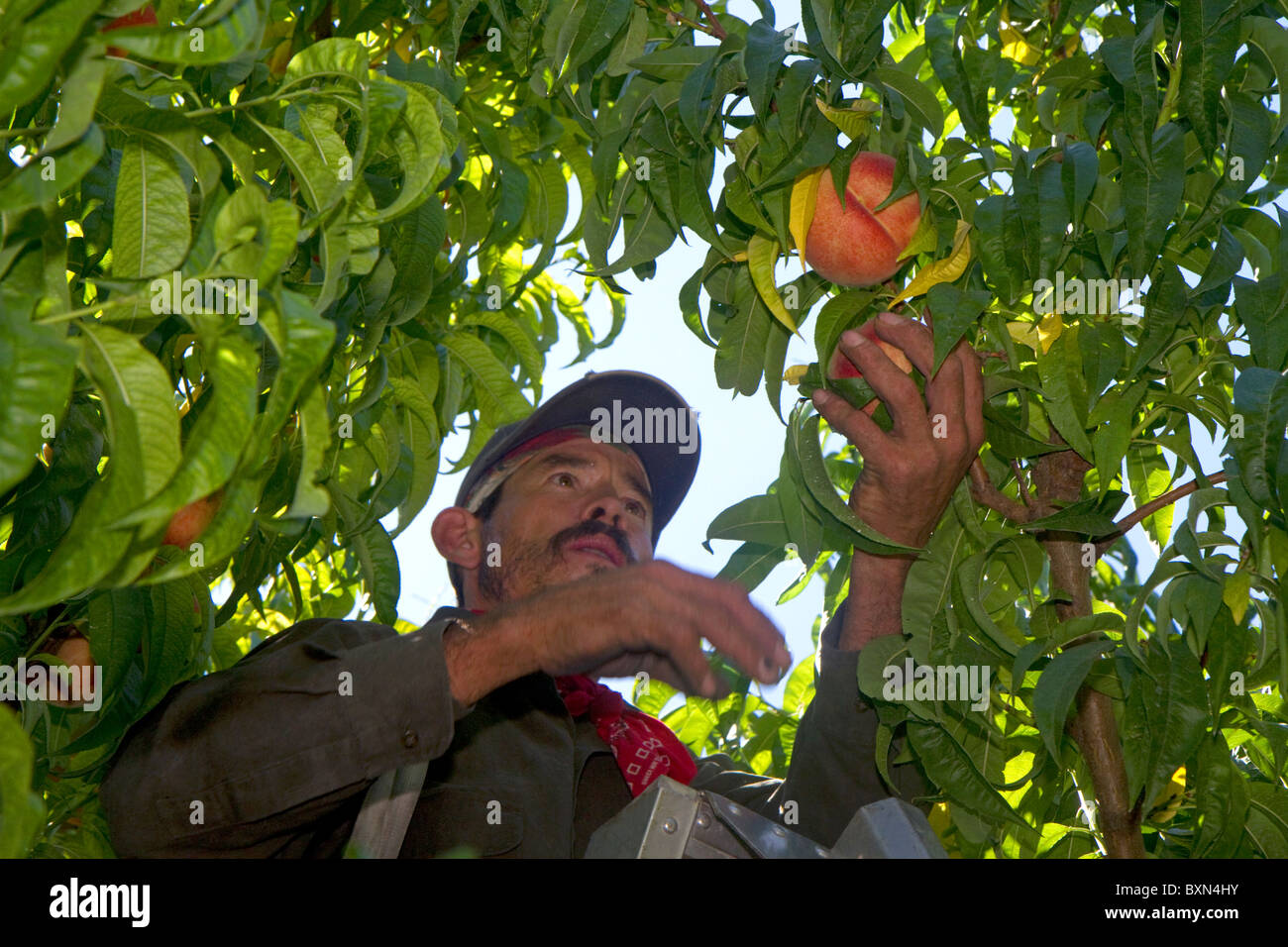Migrant worker harvesting peaches in southwest Idaho, USA. - Stock Image