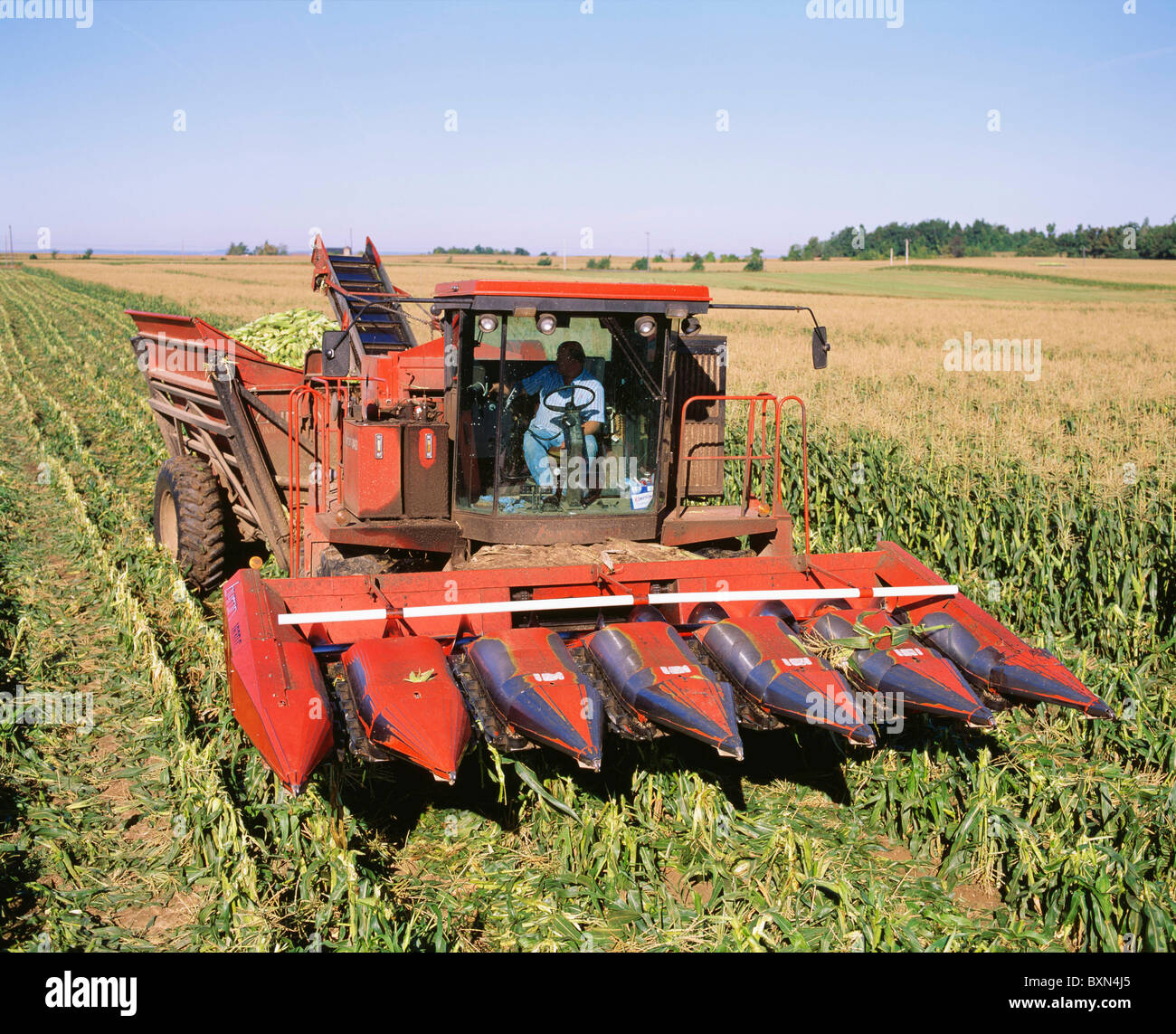 HARVESTING SWEET CORN VARIETY ASGROW MORE WITH DUMP CART AND GROW HEAD (BYRON 8400) GROVELAND STATION, NEW YORK - Stock Image