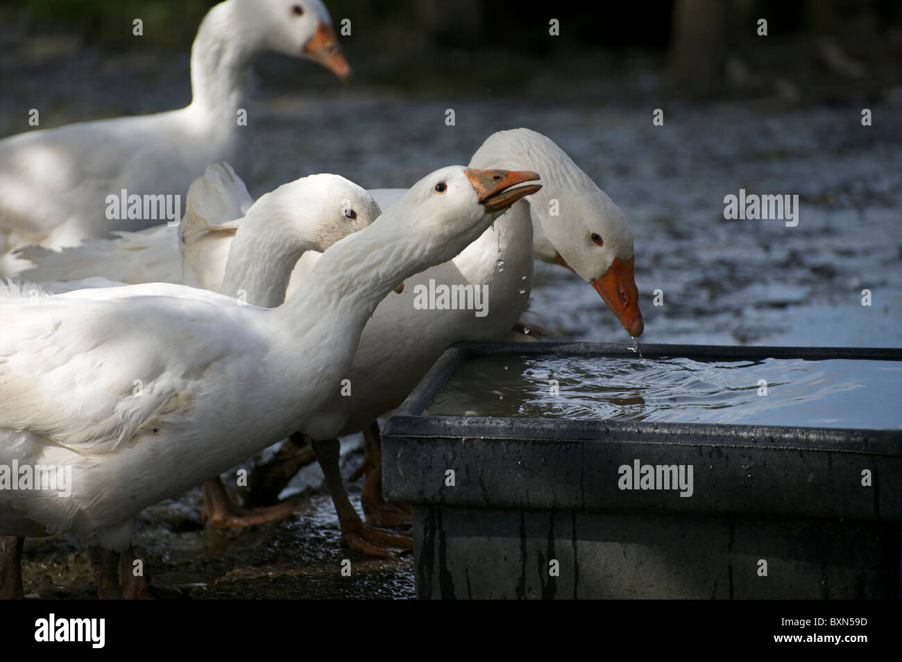 Organic free range Embden geese drinking from a water container on a sunny August afternoon in Devon. - Stock Image