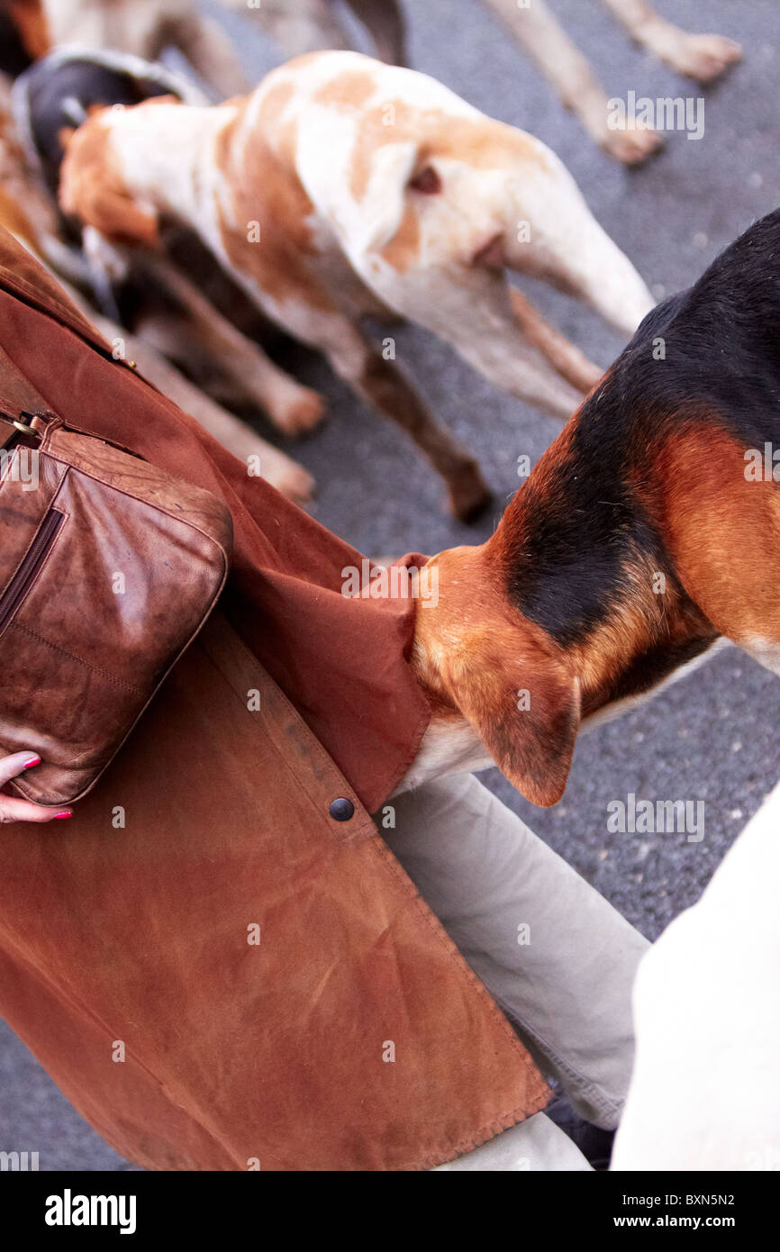 CORNWALL, UK. A fox hound misbehaves while waiting for the start of the Cury hunt. - Stock Image