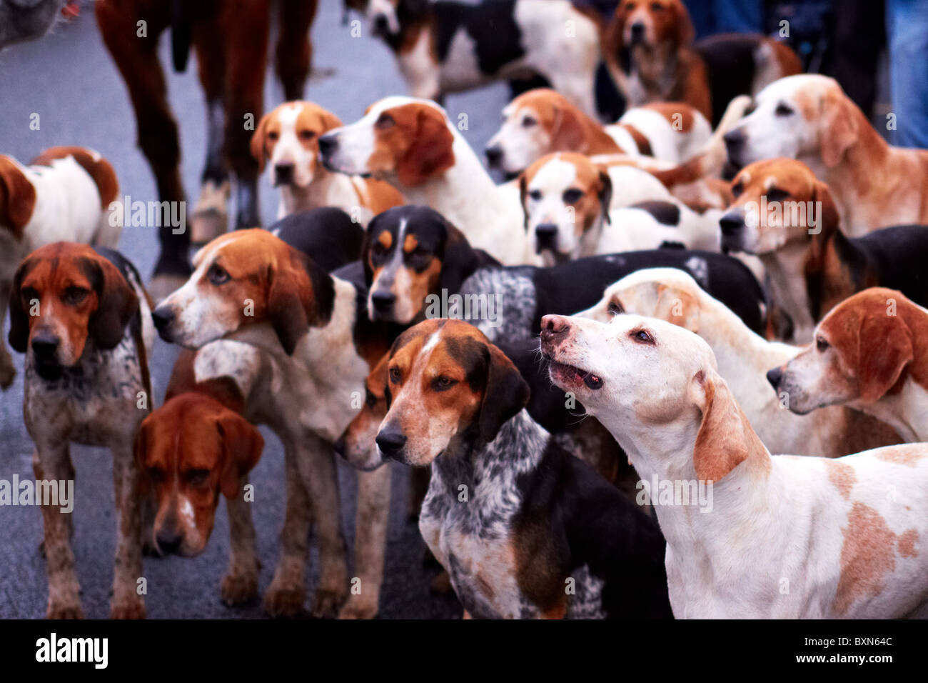 CORNWALL, UK. A huntsman addresses the hunt and supporters before the start of the Cury Foxhounds hunt. - Stock Image
