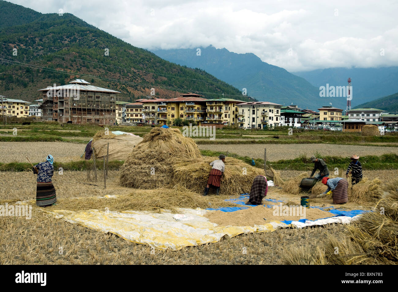 Harvesting rice near Paro in Bhutan--one of the few flat places in this Himalayan country - Stock Image