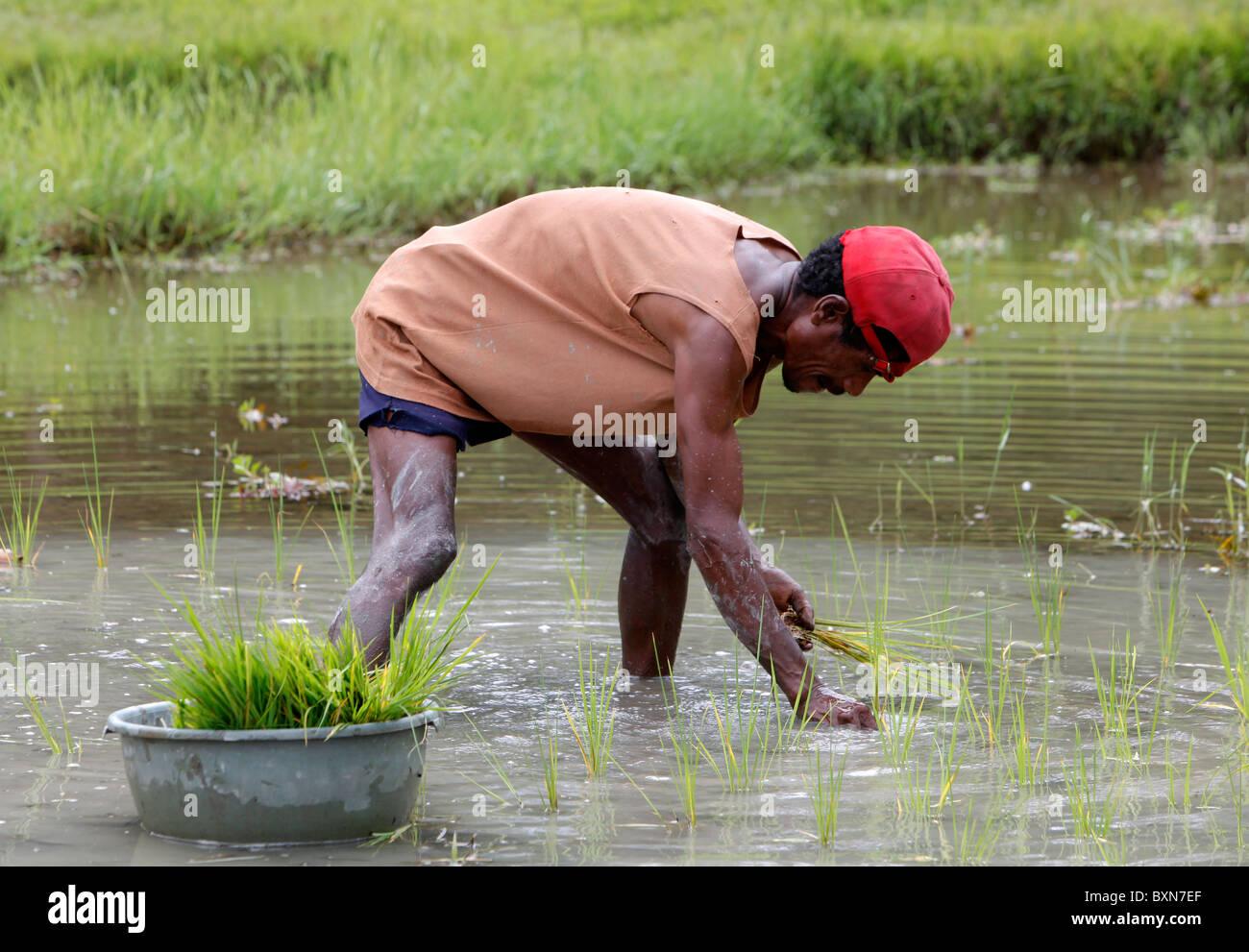 Farmer planting rice in a paddy field in Timor Leste (East Timor) - Stock Image