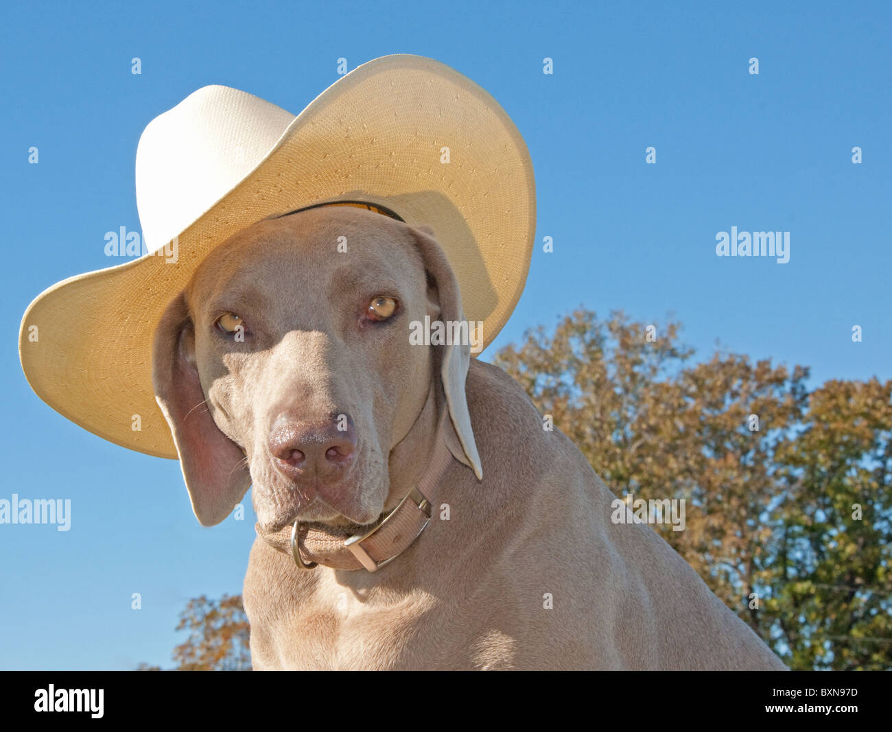Humorous image of a Weimaraner dog with a cowboy hat against clear blue skies - Stock Image