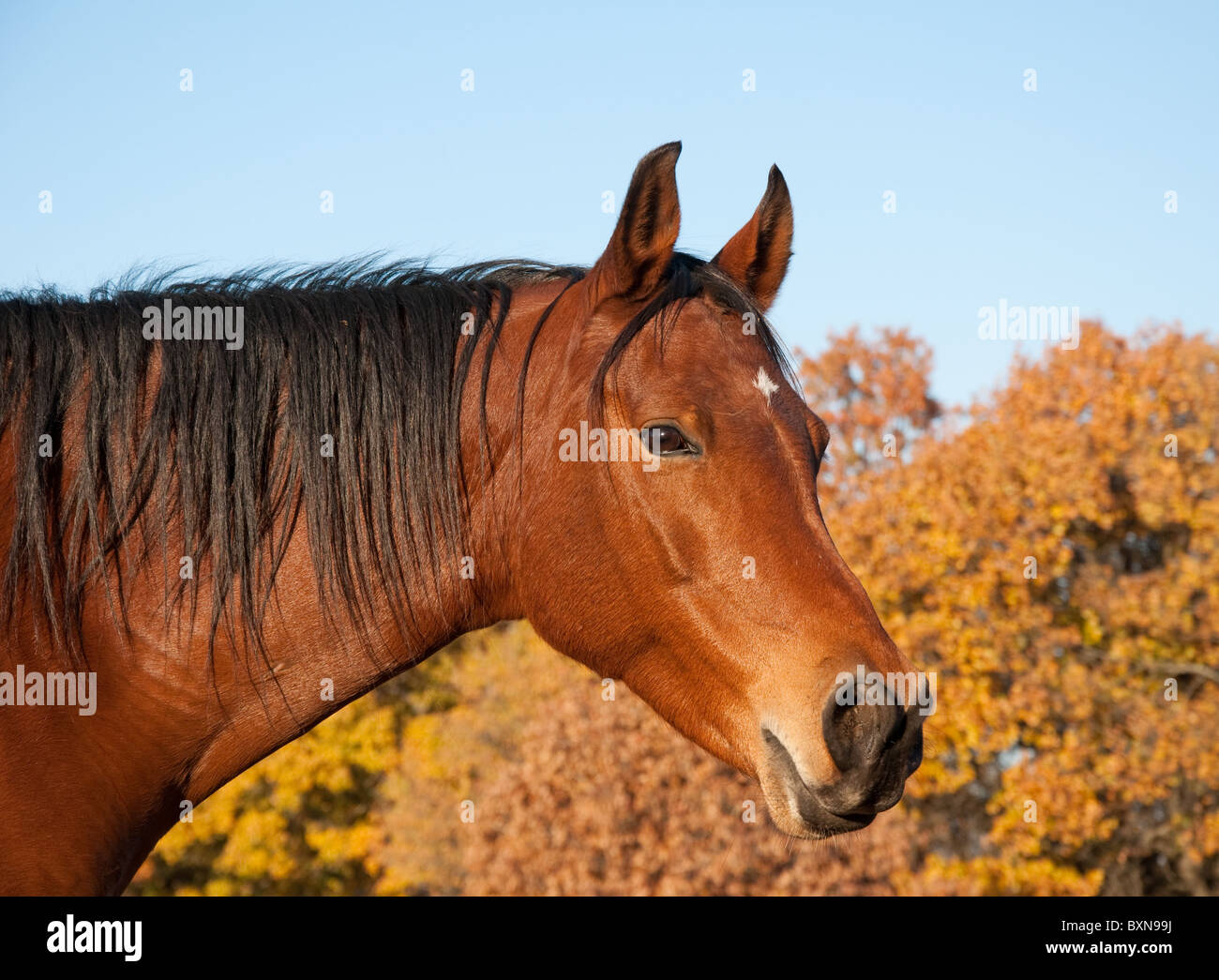 Red bay Arabian horse against trees in fall colors and clear blue skies Stock Photo