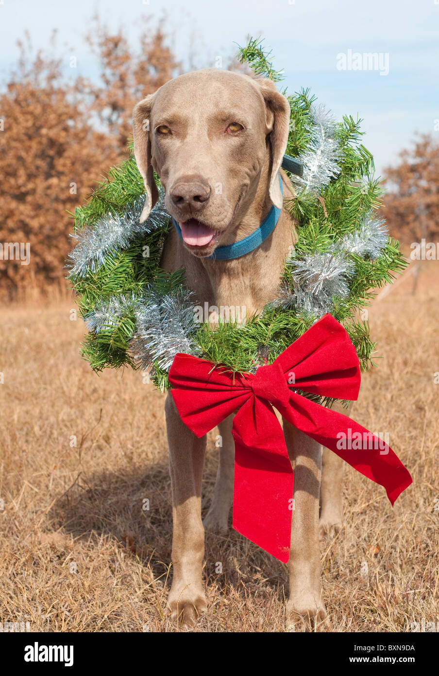Beautiful Weimaraner dog wearing a Christmas wreath with a red bow Stock Photo