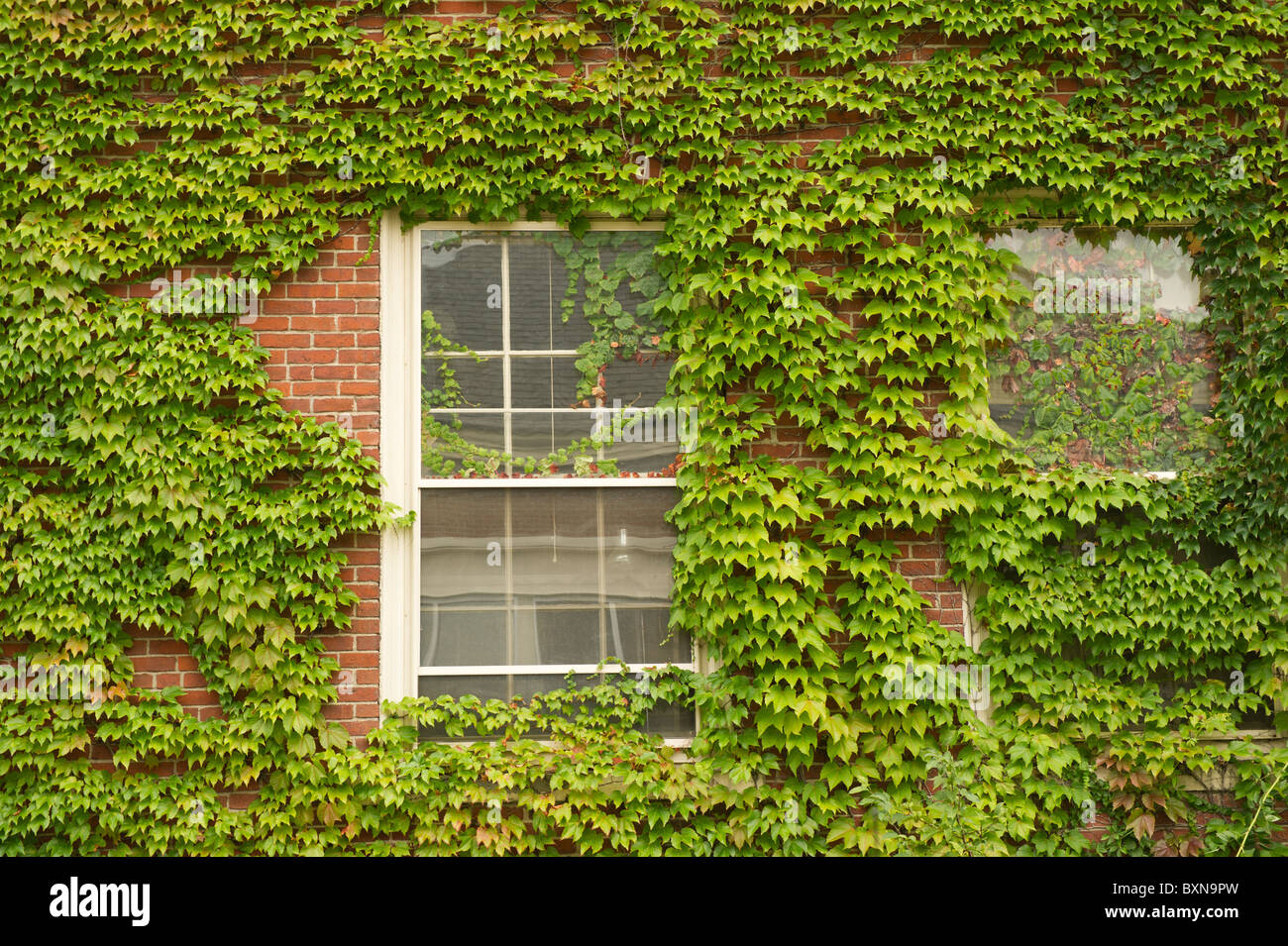 Window covered in ivy - Stock Image