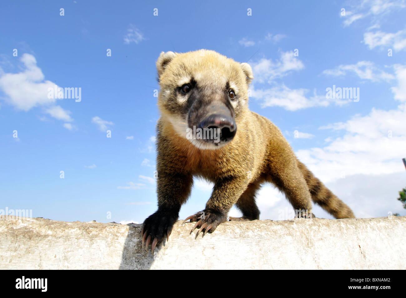 Wild coati, Nasua nasua, Santa Catarina, Brazil - Stock Image