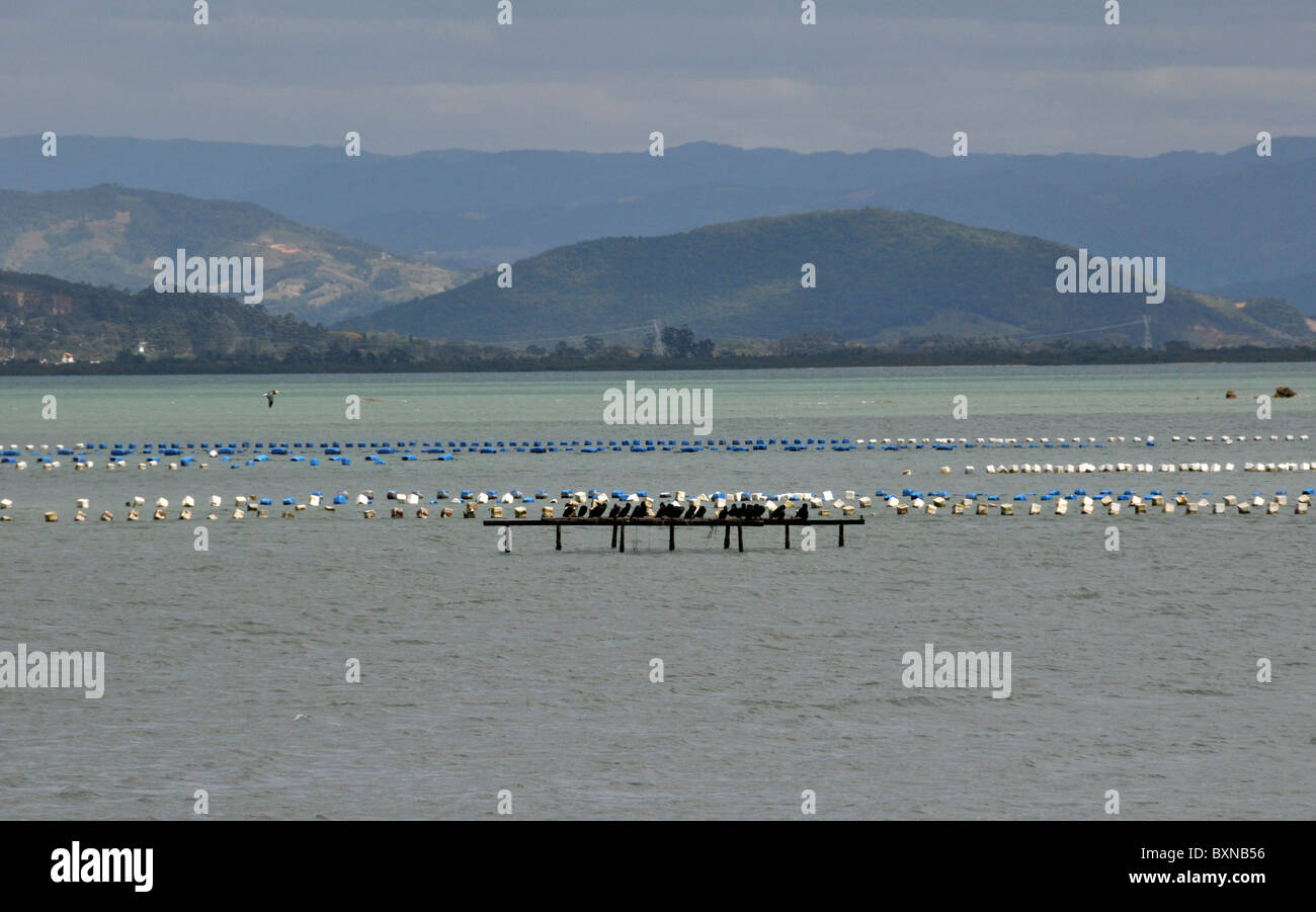 Oyster farming, South Bay, Florianopolis, Santa Catarina, Brazil - Stock Image