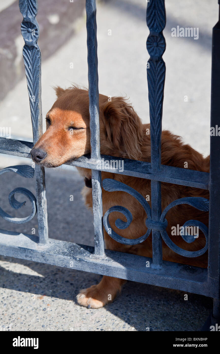 Friendly guard dog, a cute Dachshund, rests on gate at Ballyhack, County Wexford , Southern Ireland - Stock Image
