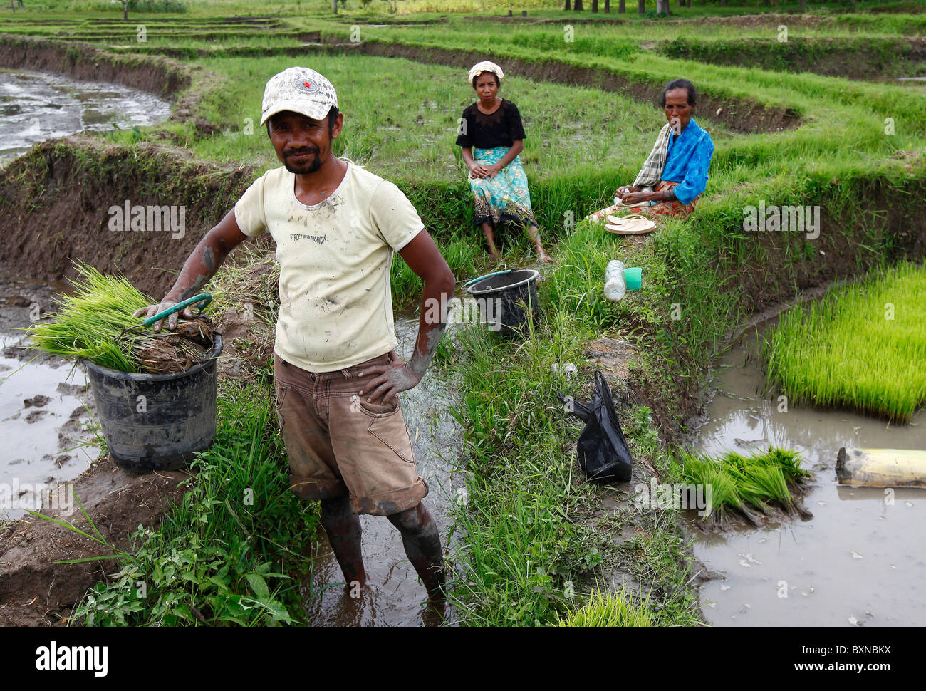 Farmers planting rice in a paddy field in Timor Leste (East Timor) - Stock Image