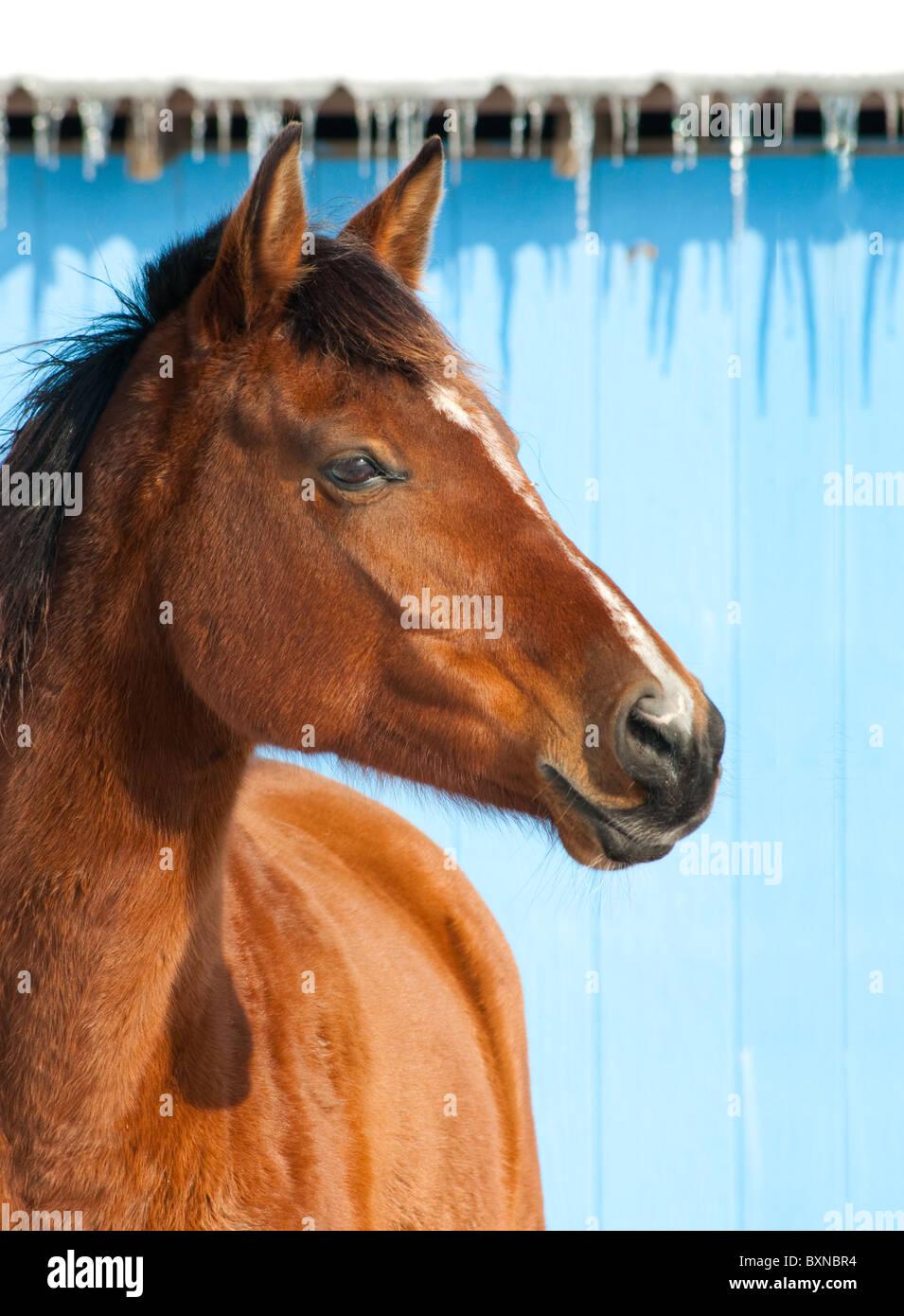 Bay horse against blue barn on a cold sunny winter day - Stock Image