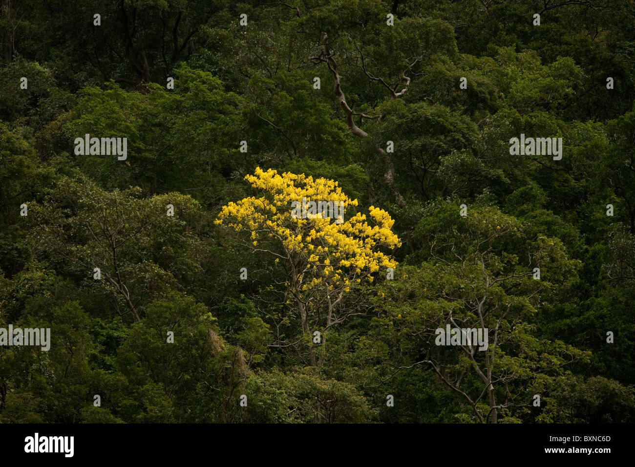 A yellow tree in the Sumidero Canyon in Tuxla Gutierrez, Chiapas, Mexico, February 18, 2010. - Stock Image