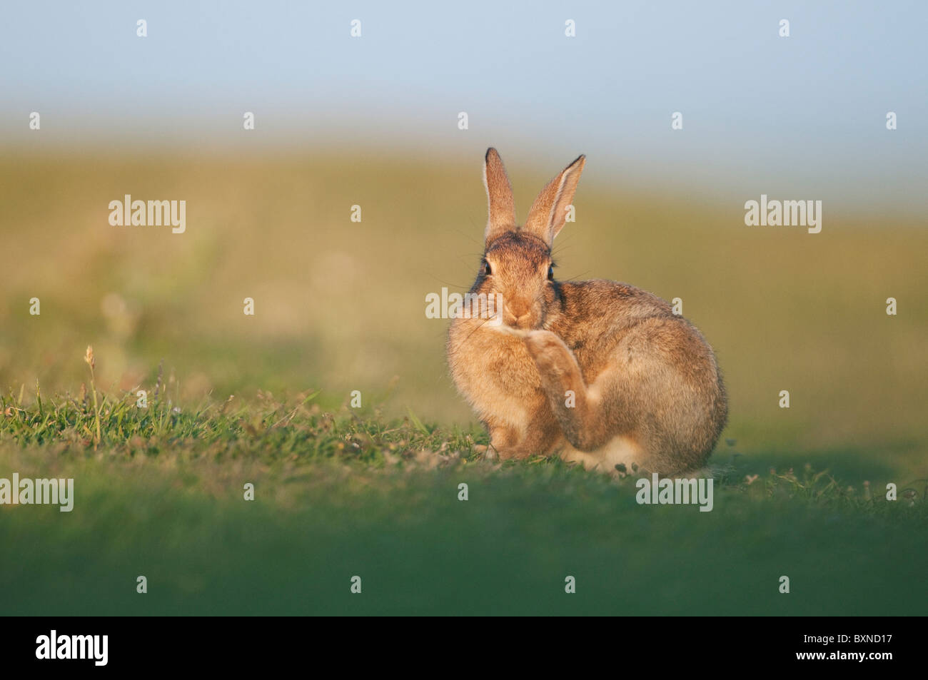 European Rabbit (Oryctolagus cuniculus). Young grooming in evening sunlight, North Kent Marshes, Kent, England. - Stock Image