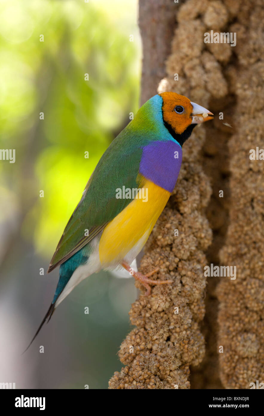 Colorful Lady Gouldian Finch perched in a tree - Stock Image