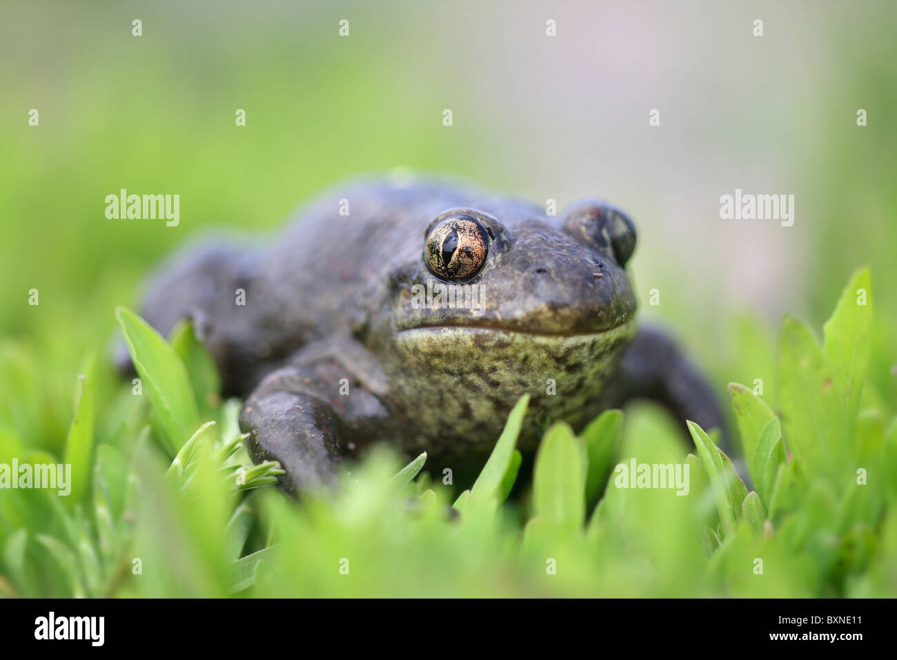 A wild spade-foot toad - Pelobates fuscus - on a beautiful green background - Stock Image