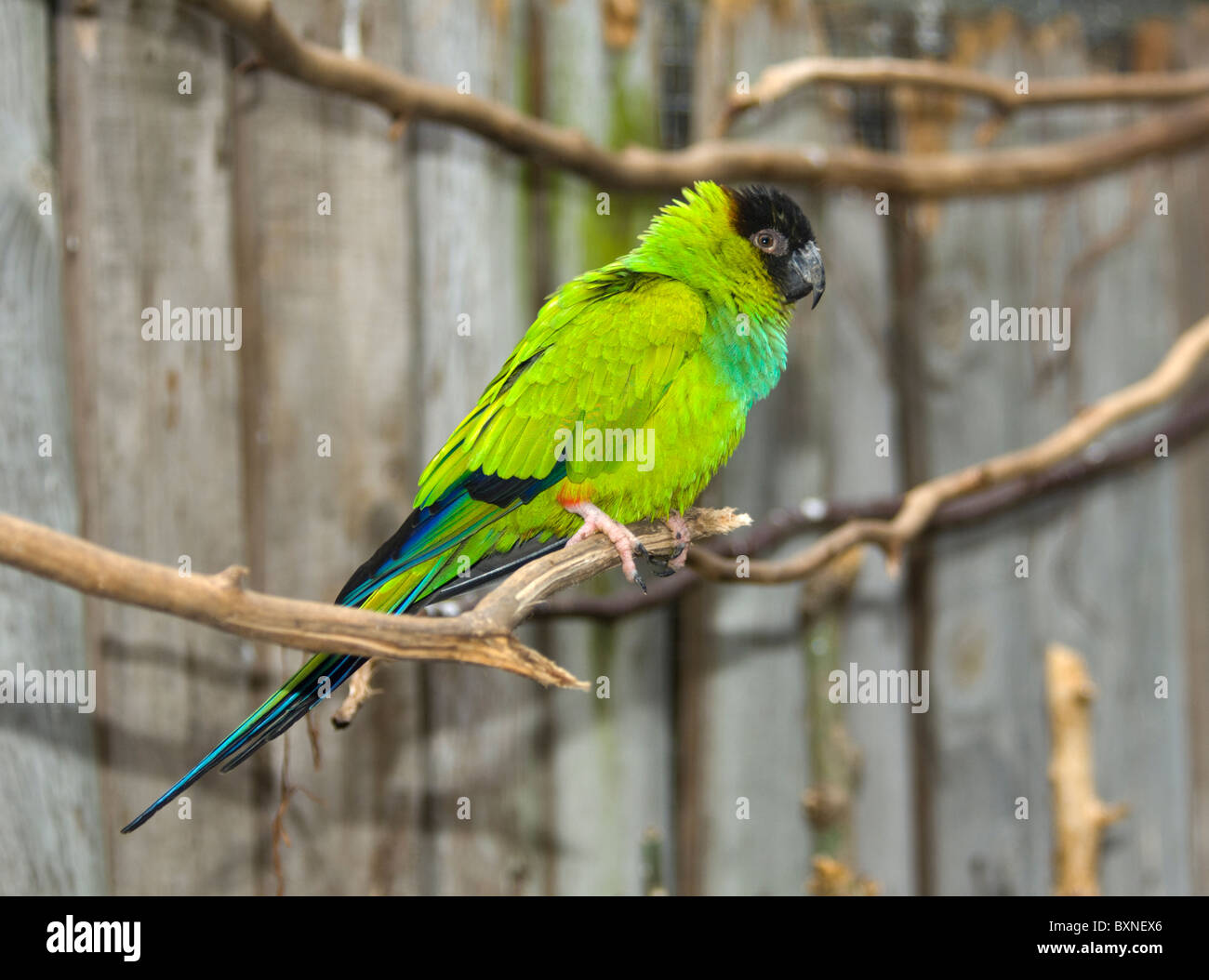 Black-Headed Nanday Conure Nandayus nenday World of Birds Cape Town South Africa Captive - Stock Image