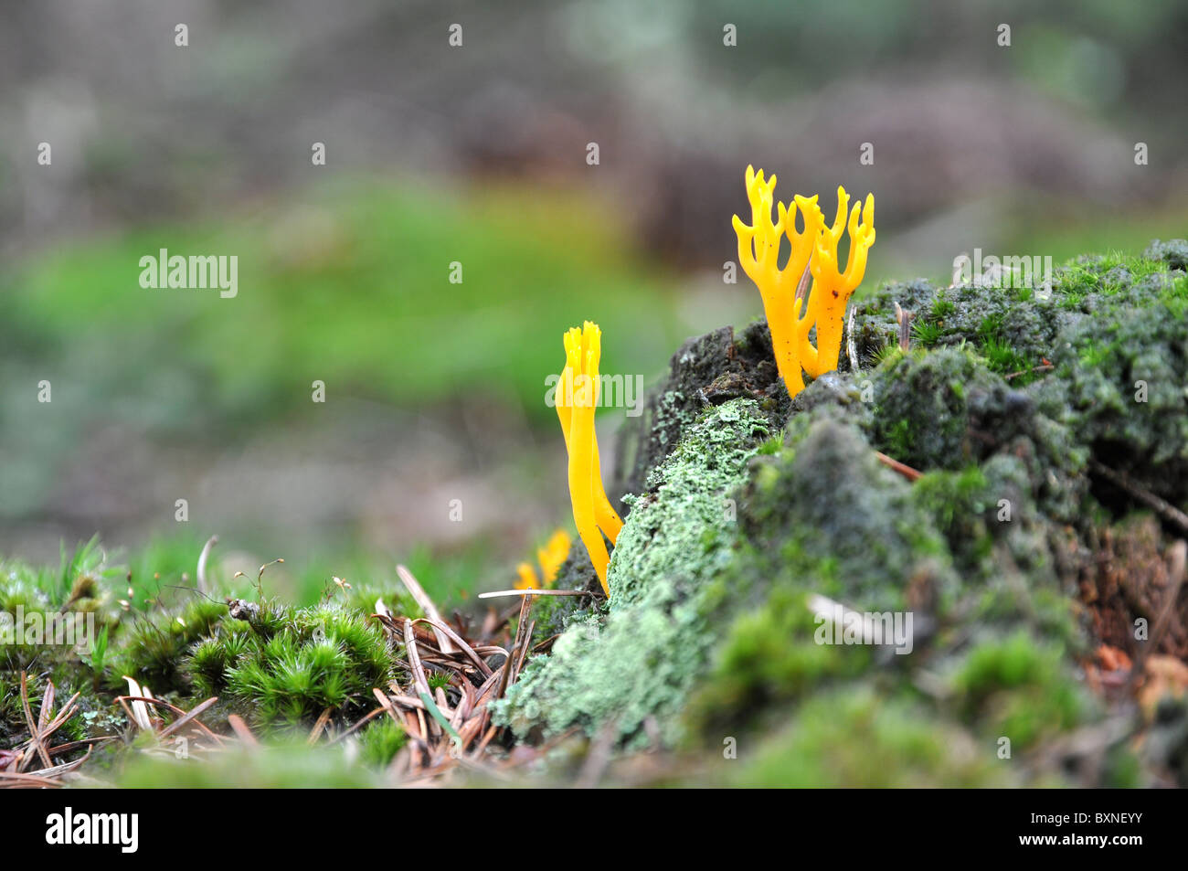 Yellow mushroom growing in an old rotten tree - Stock Image