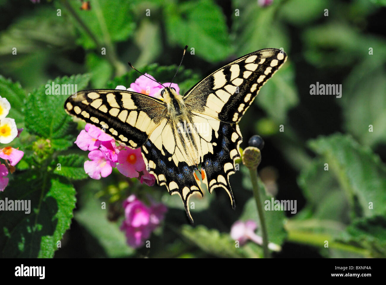 Swallowtail Butterfly (Papilio machaon) forewing. Papilionidae. Crete; late July - Stock Image