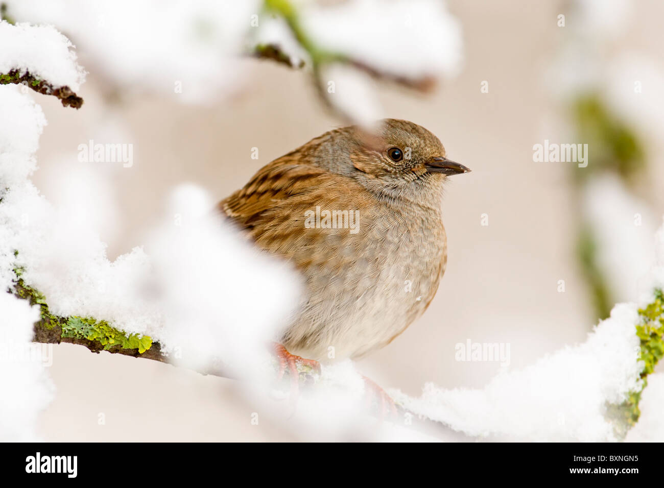 Dunnock perched in snow covered branches - Stock Image