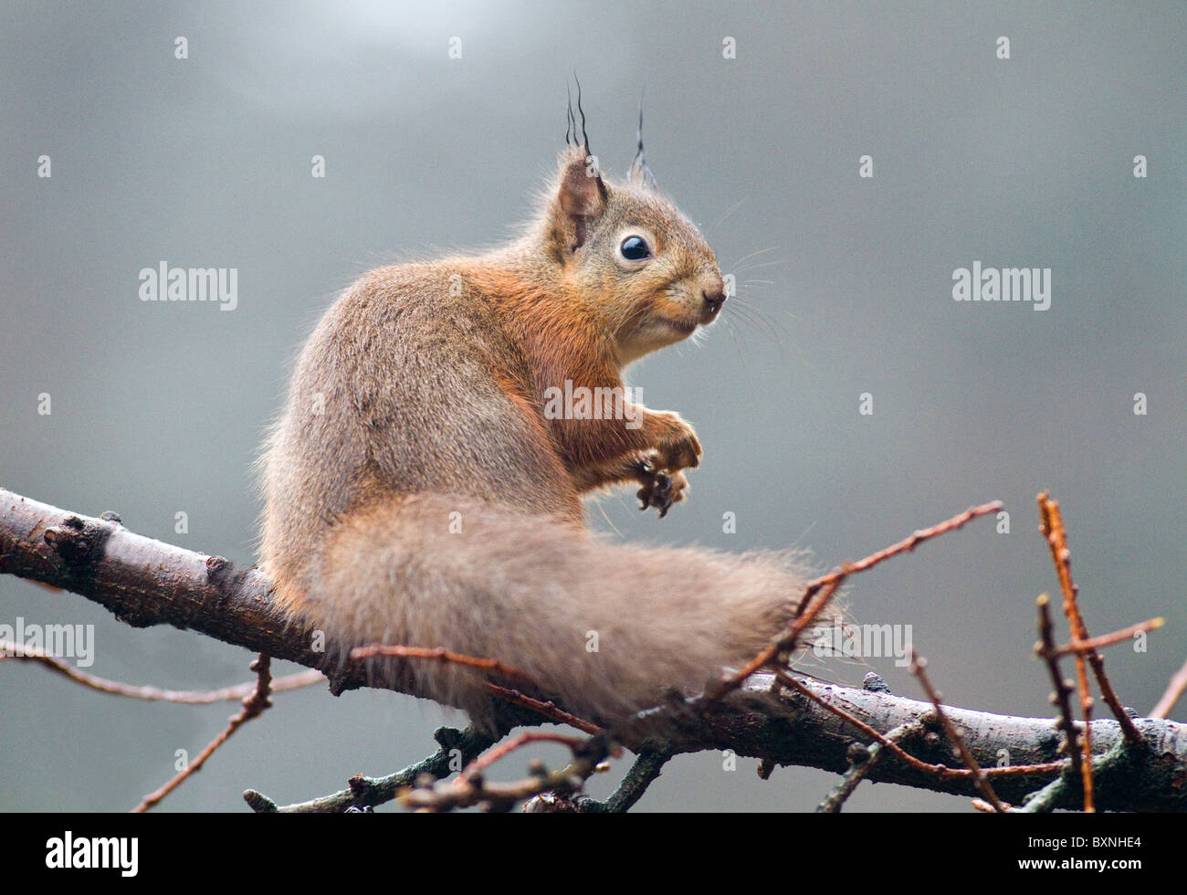 red squirrel (sciurus vulgaris) in the fog in a conifer forest,ireland - Stock Image