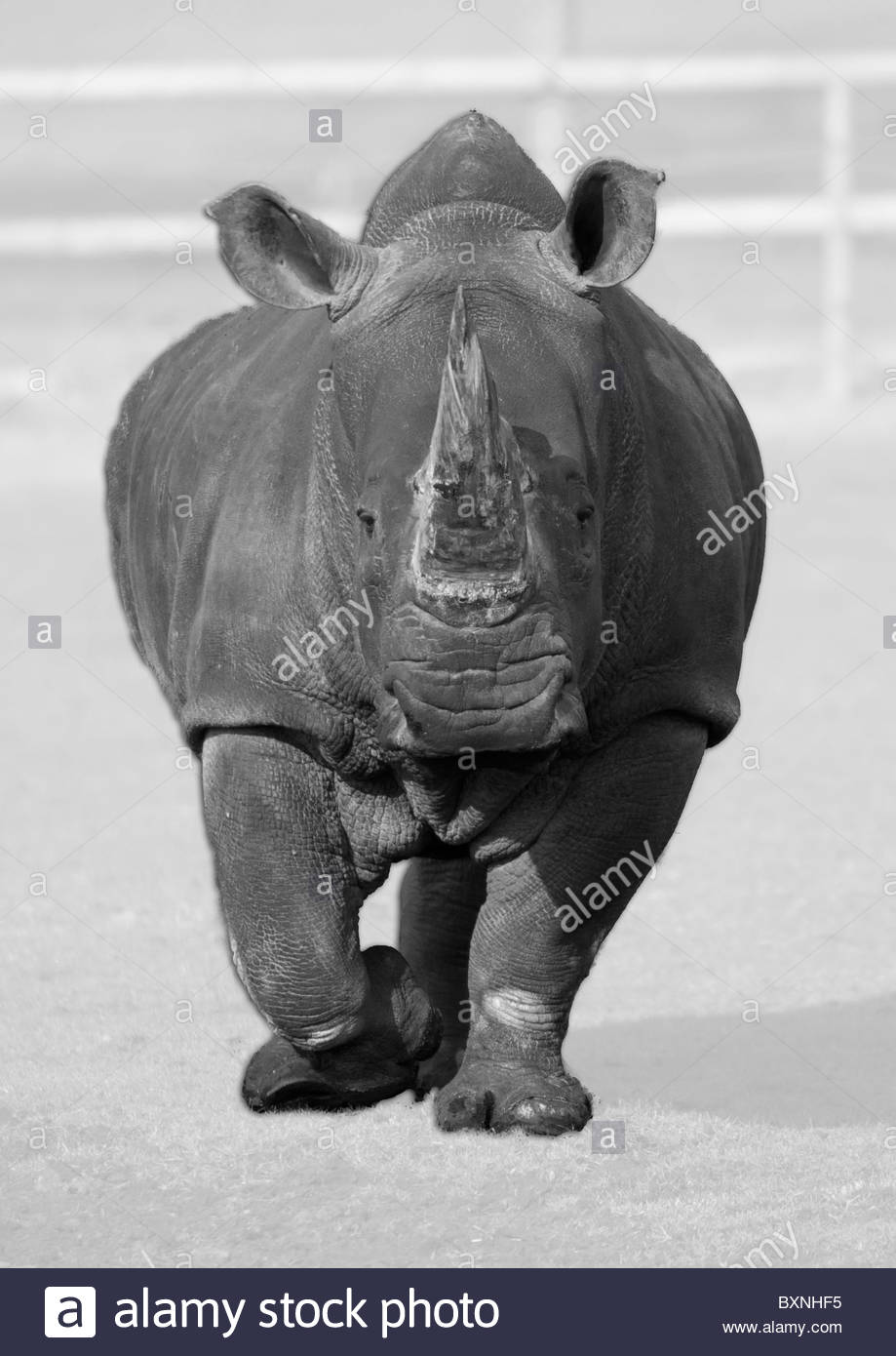 A Rhino walking towards the car. Captive bred, using colour popping technique - Stock Image