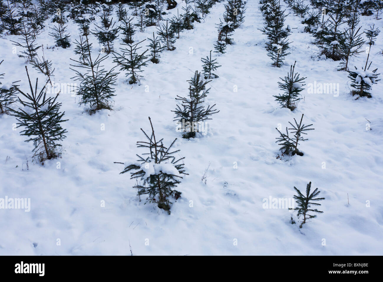 Young Christmas Trees Growing In Snowy Plantation On Private Land In
